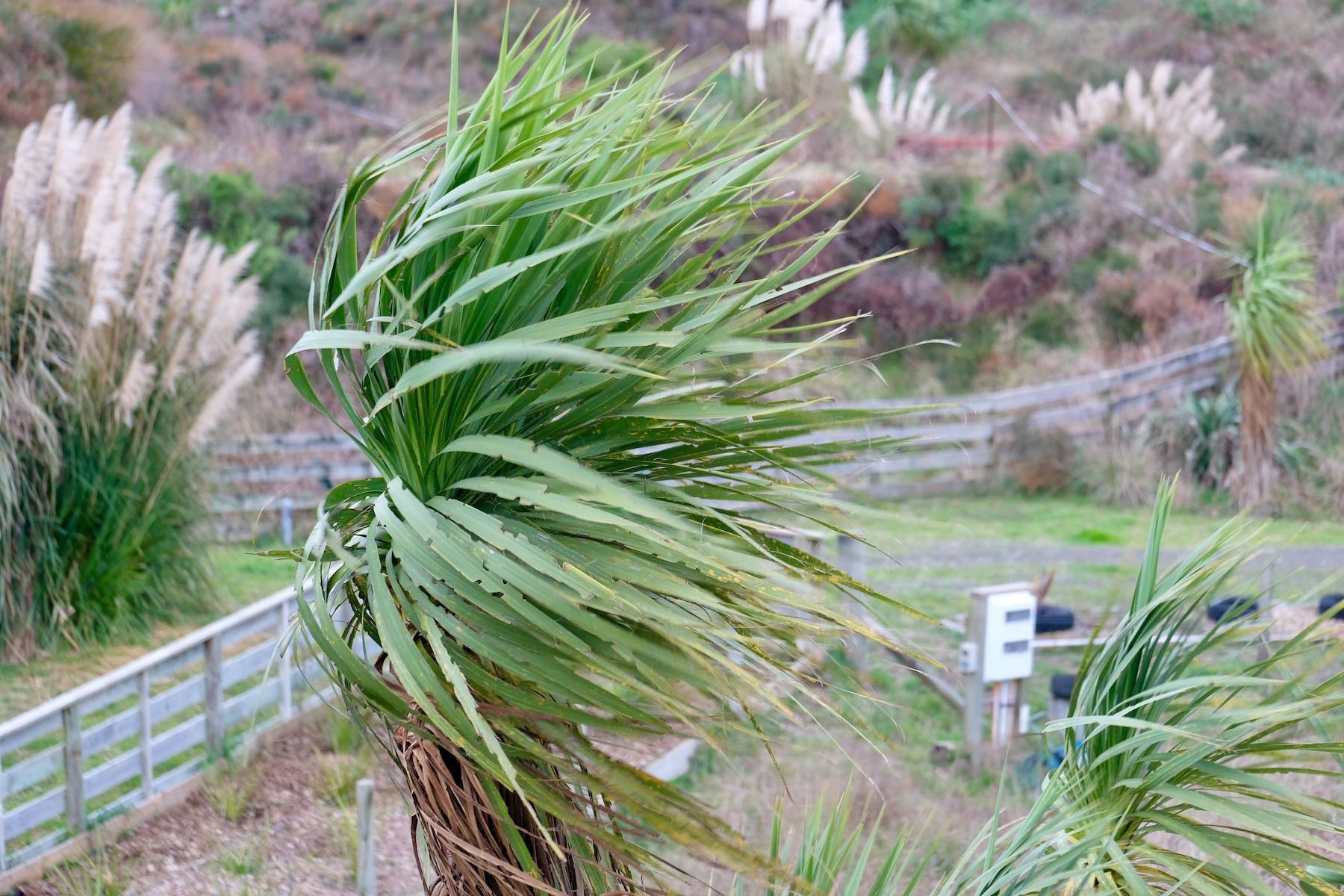 Cabbage tree leaves blowing in the wind.