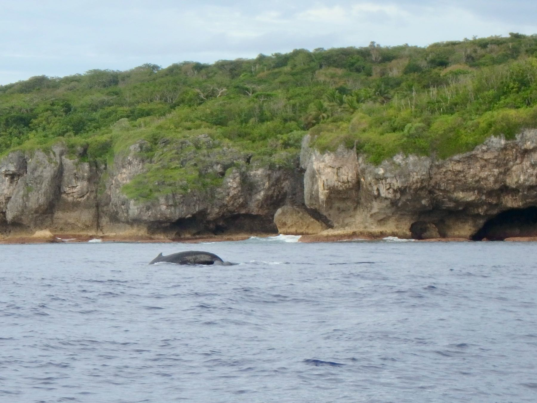 Humback whale breaching in front of cliffs in Niue.