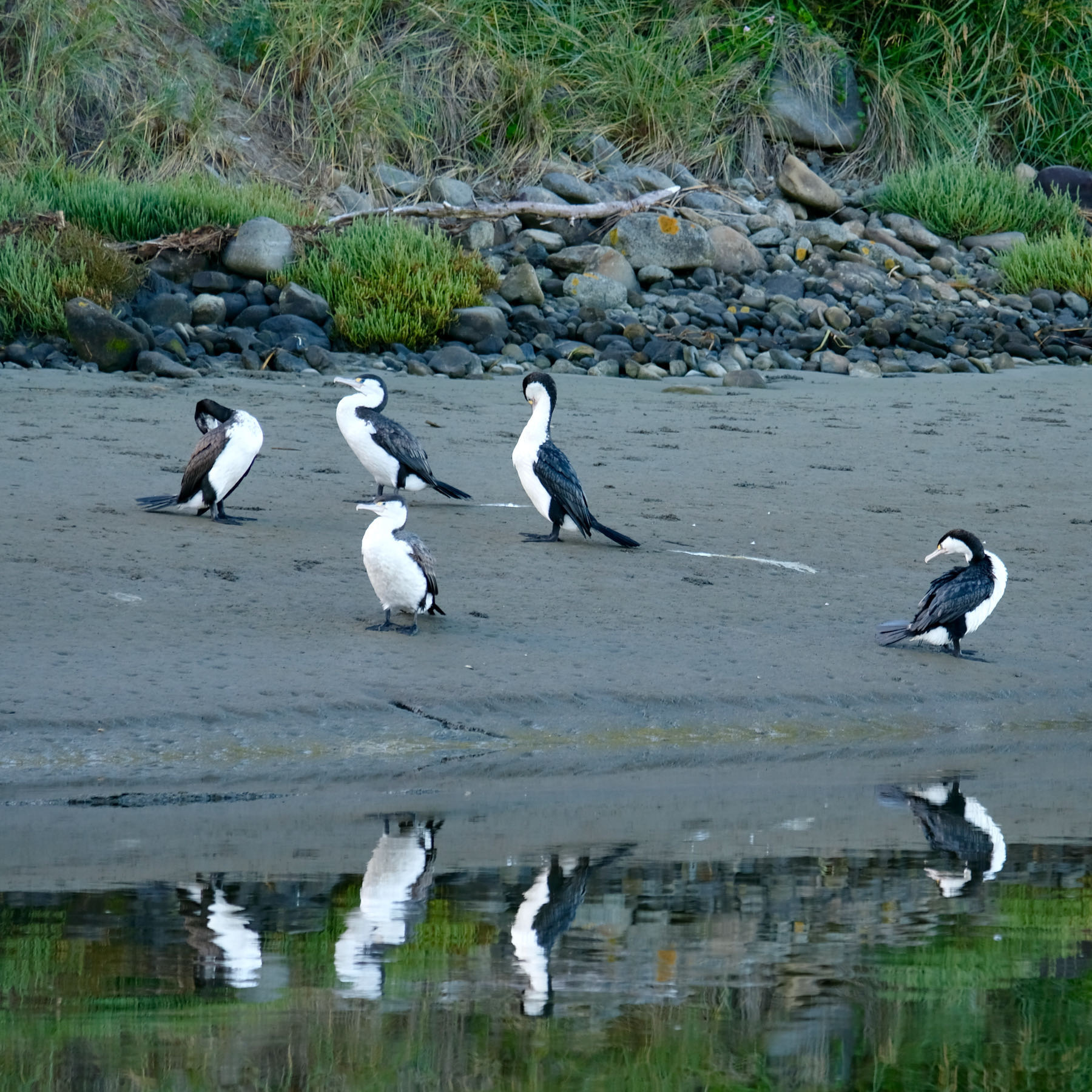 Half a dozen shags beside the river, with their necks in various positions. Reflections too.