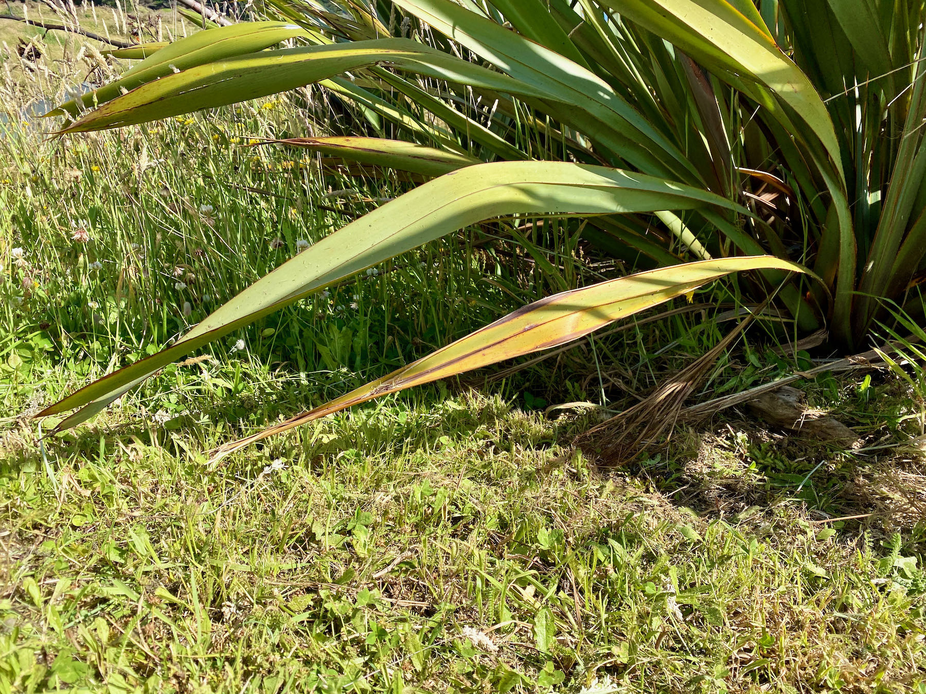 Low flax leaves above short grass with long grass just behind.