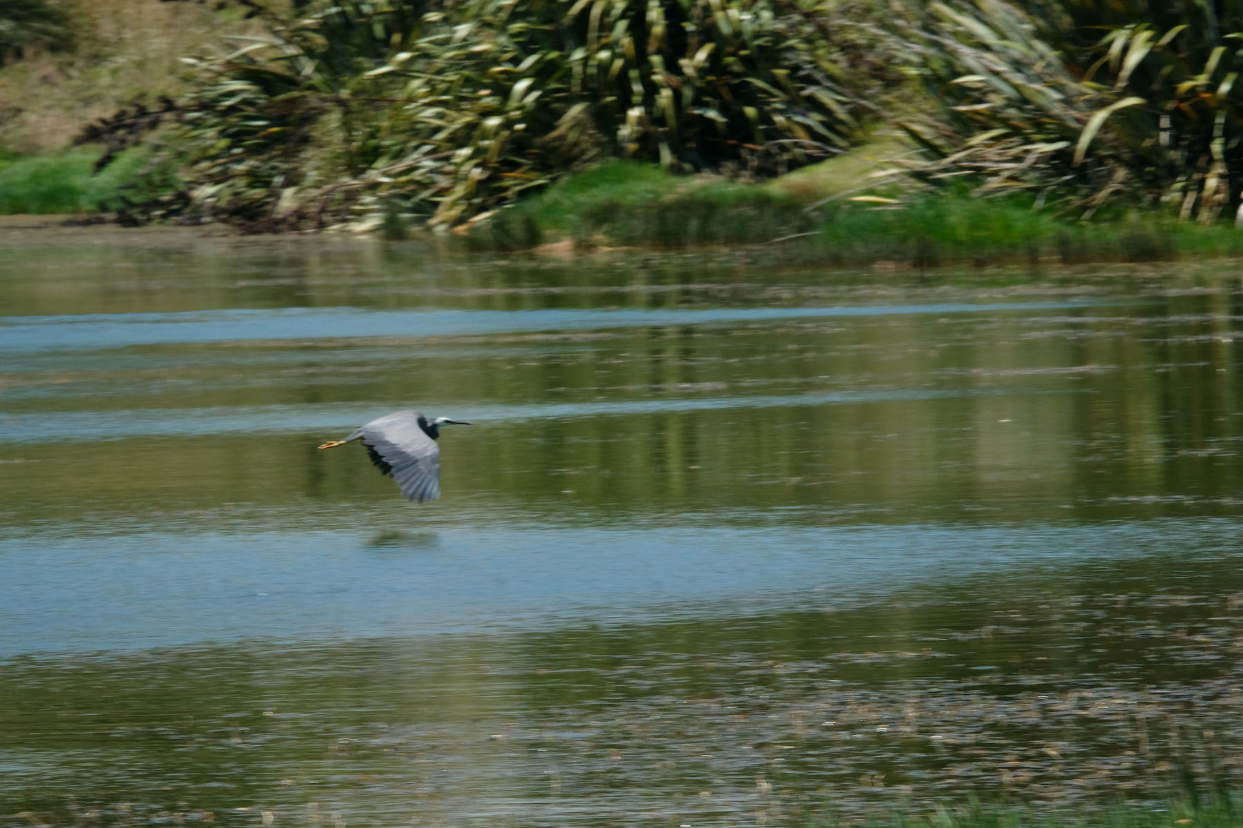 Bird flying over lake with wings on a downbeat, yellow feet behind.