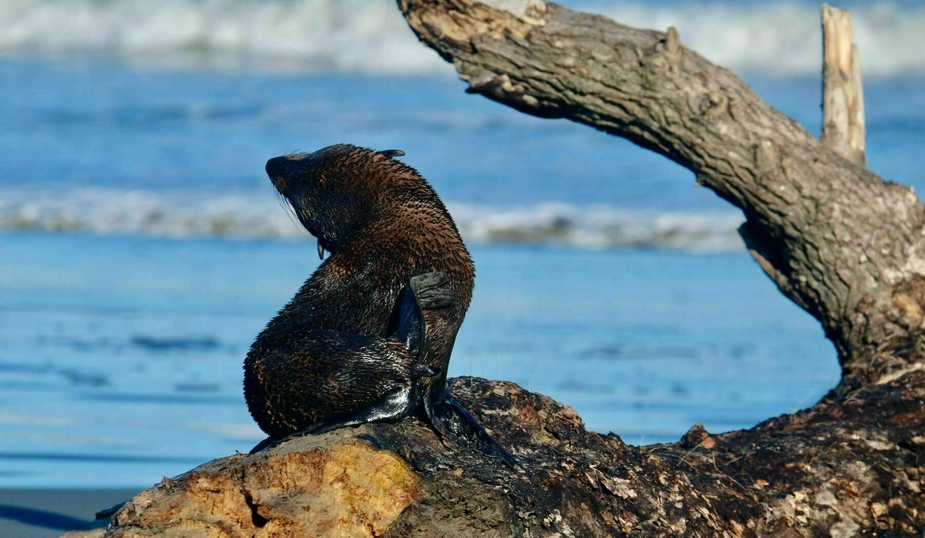 Seal pup on driftwood.