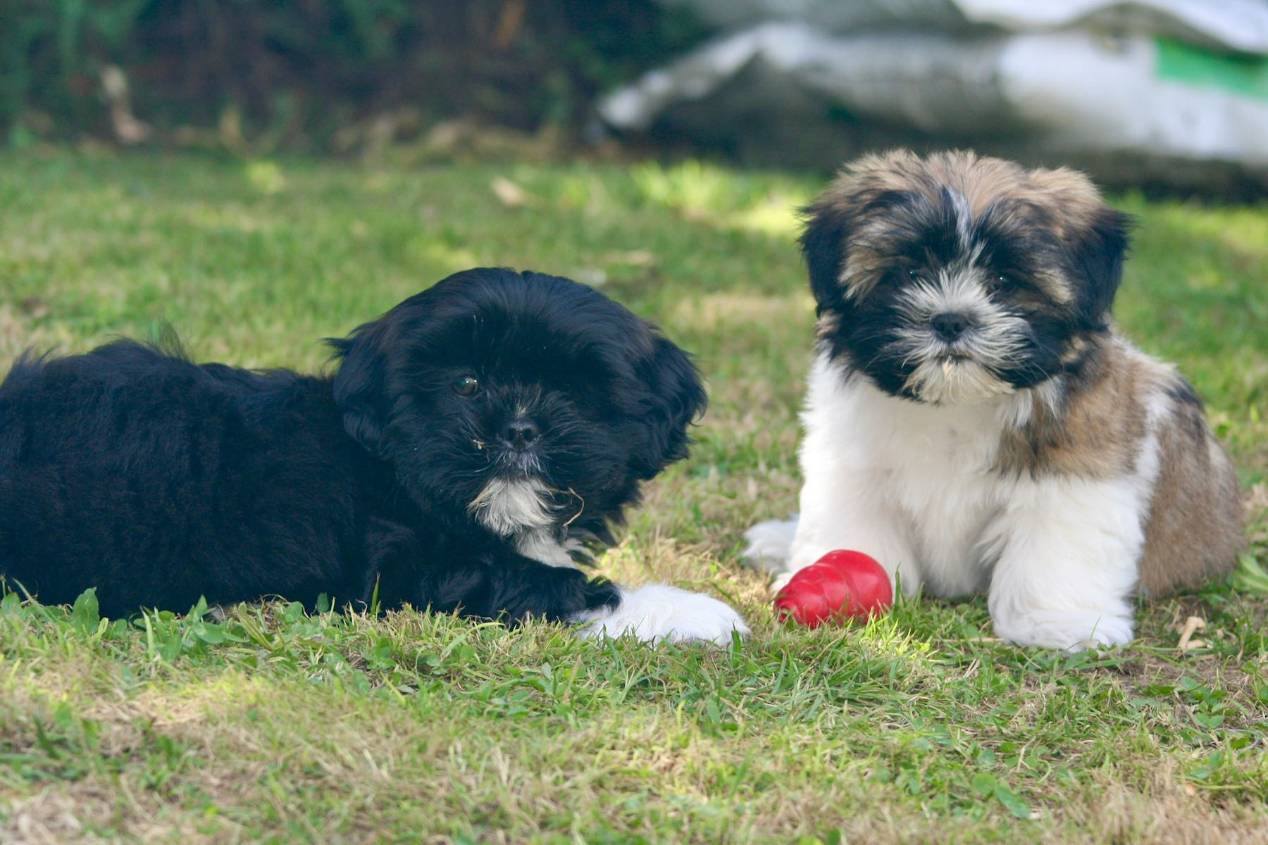 Two puppies on the grass.