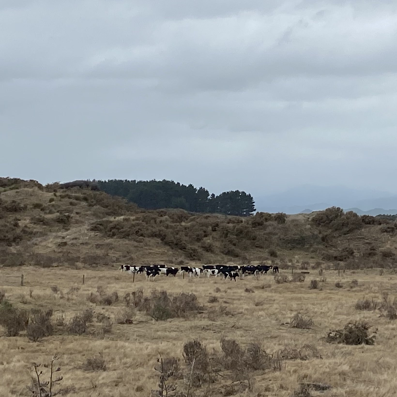 Steers in a herd, some distance away.