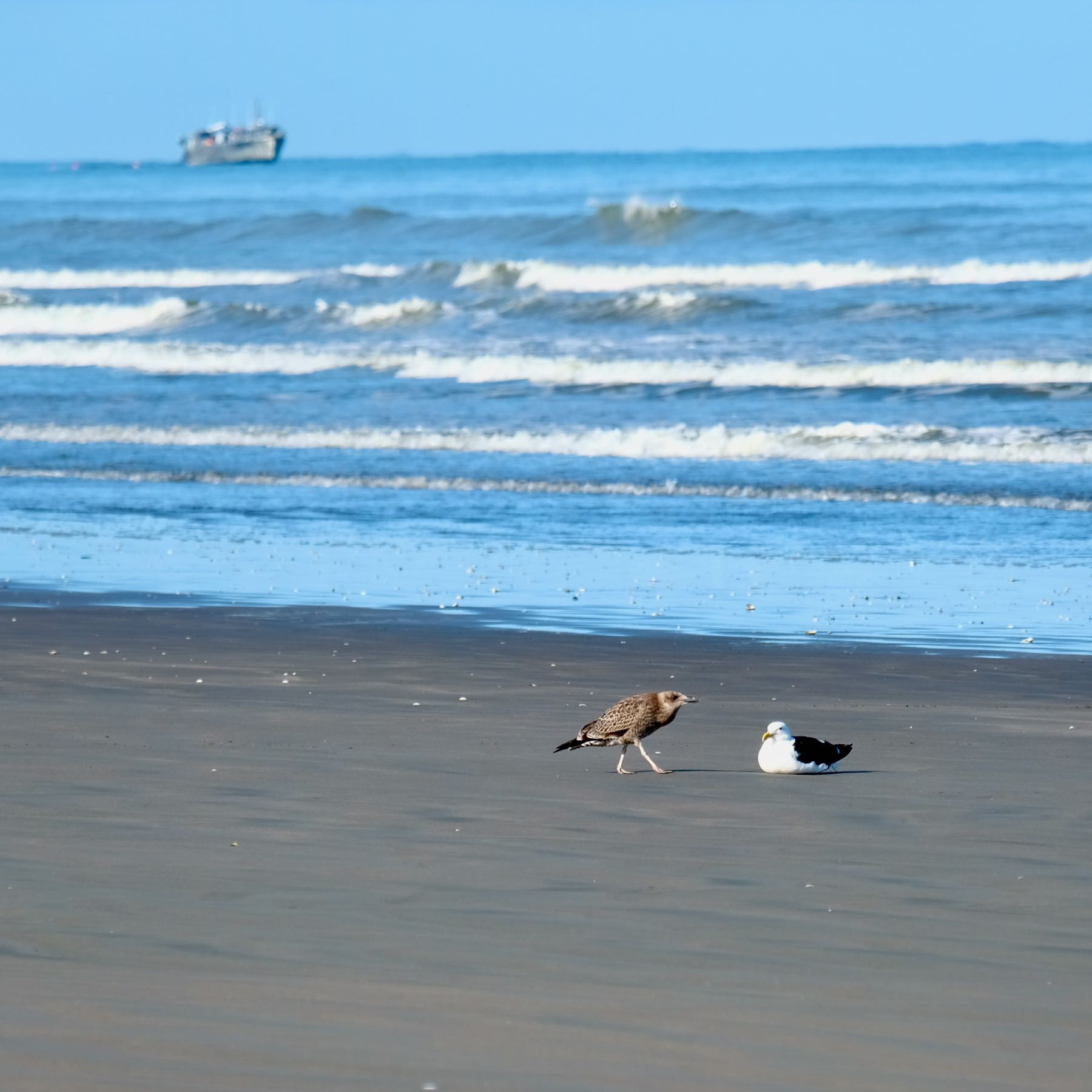 Two gulls in the foreground with a fish dredge in the distance.