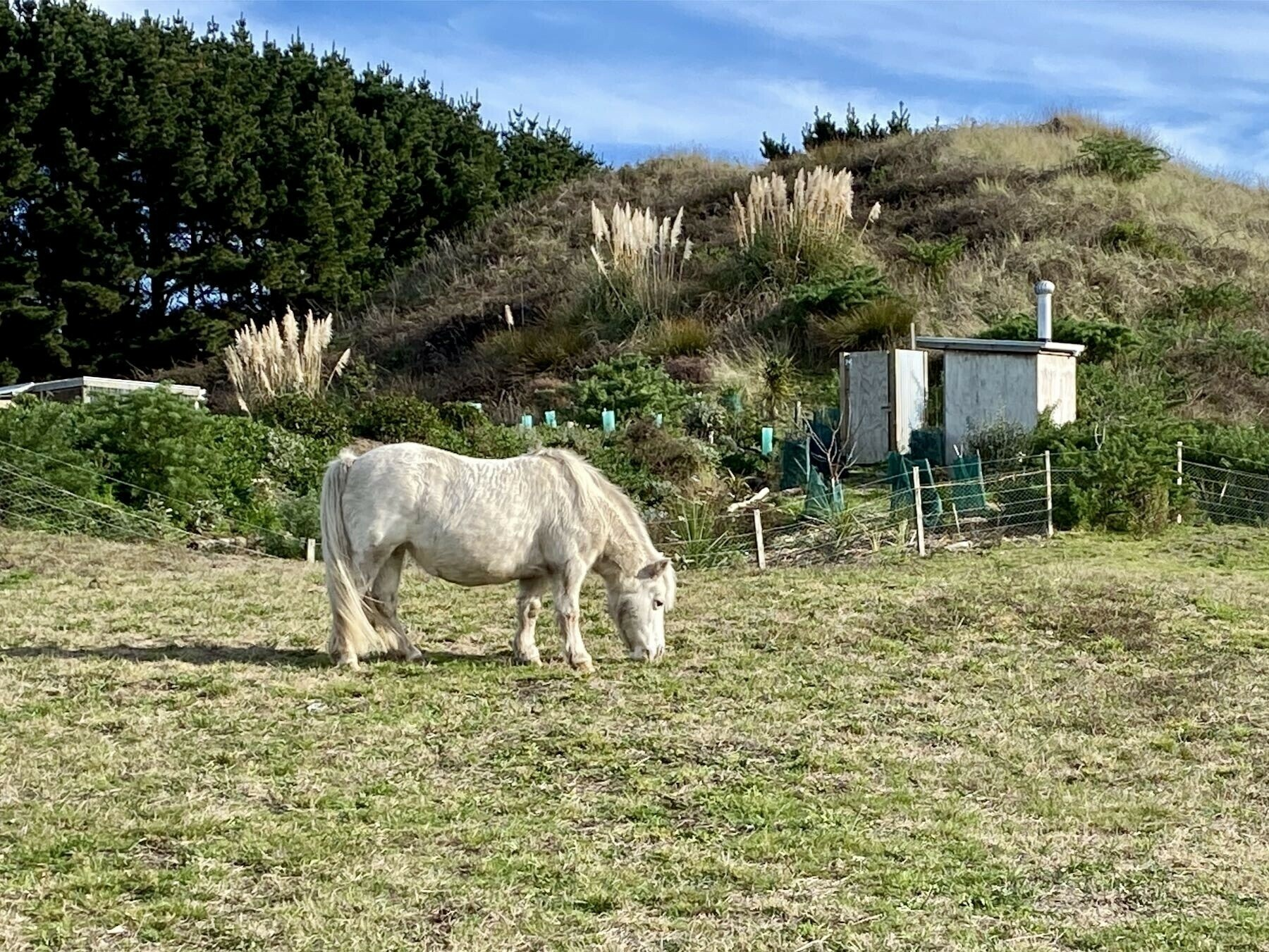 White miniature horse grazing in a paddock.