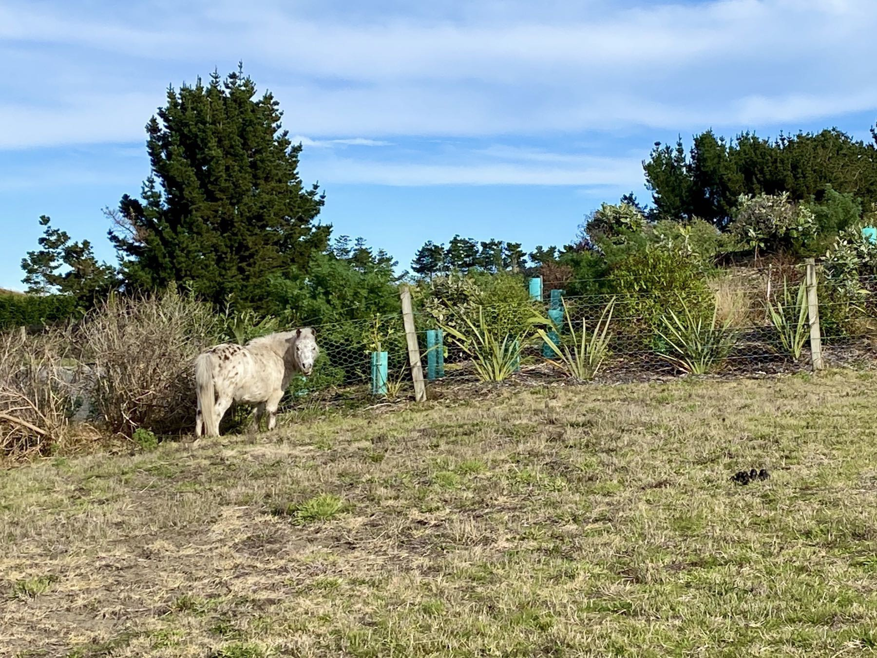 Spotted and white miniature horse grazing in a paddock.