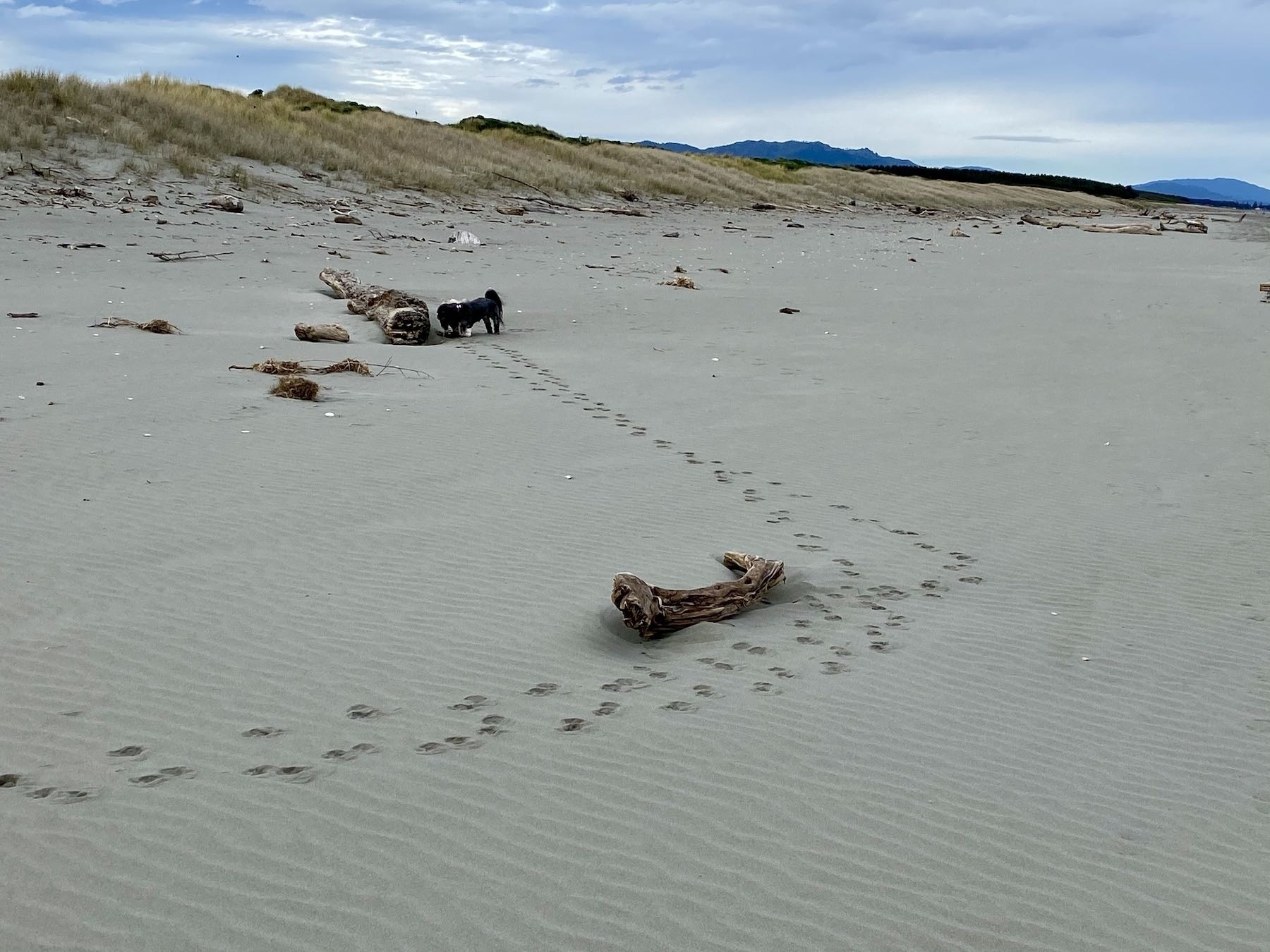Tracks in the sand, made by two small dogs, veer 90 degrees to the left by one piece of driftwood. The dogs are now at another piece.