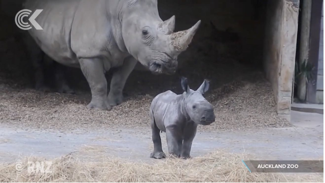 Baby rhino in front of its mum.