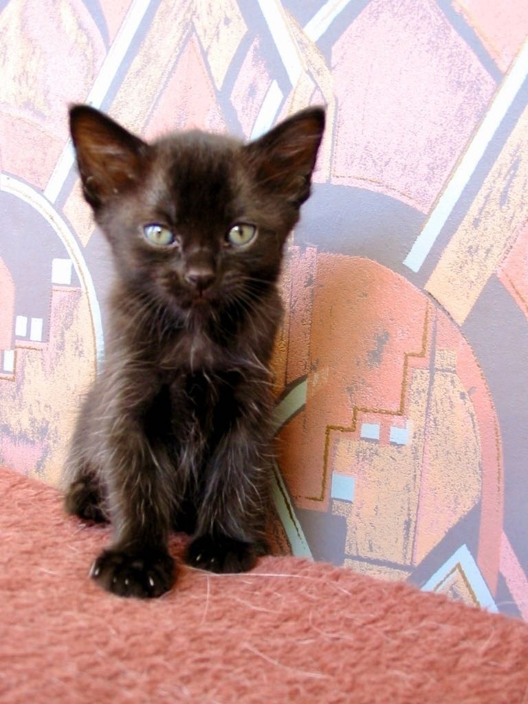 Fluffy black kitten.