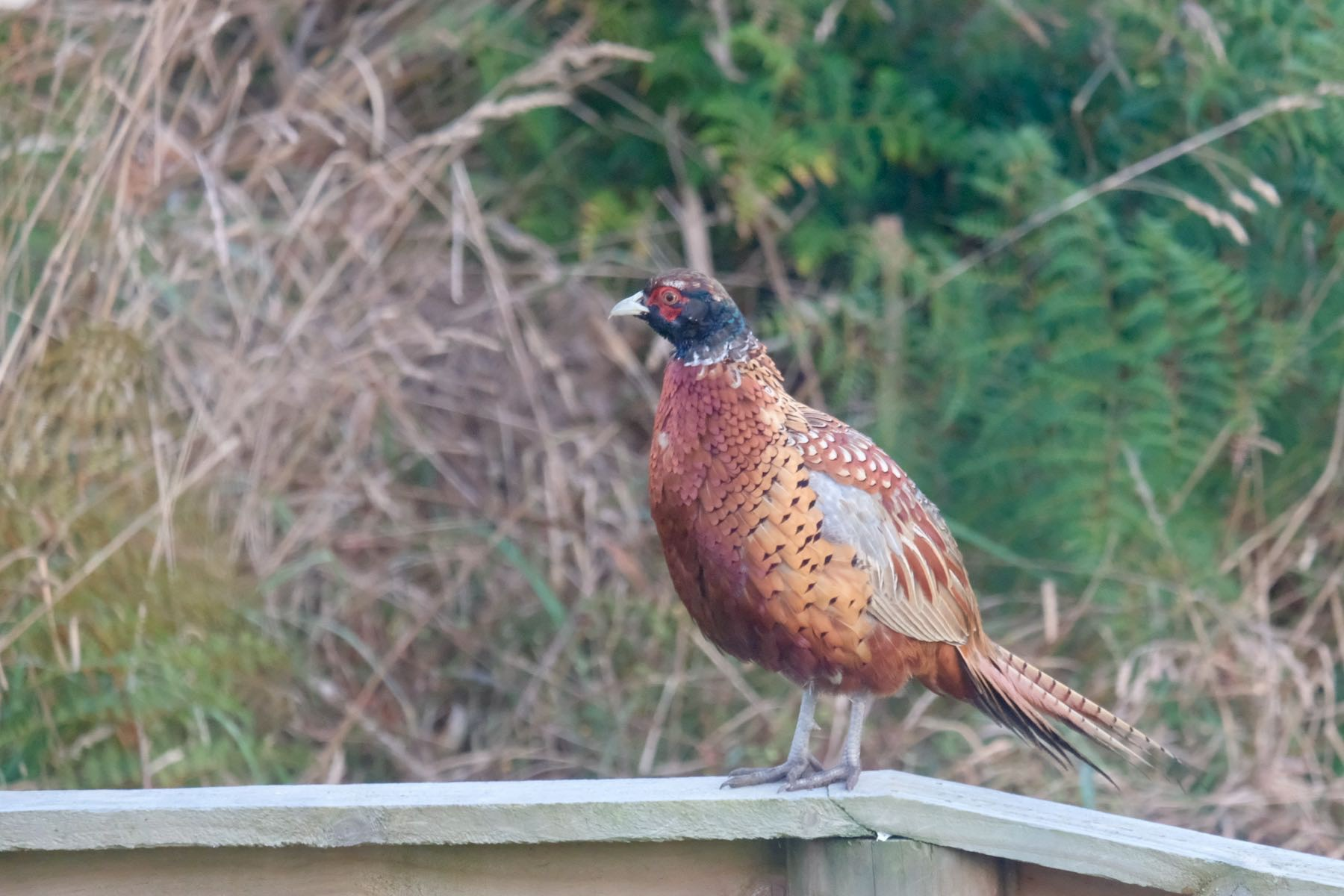 Ring-necked pheasant.