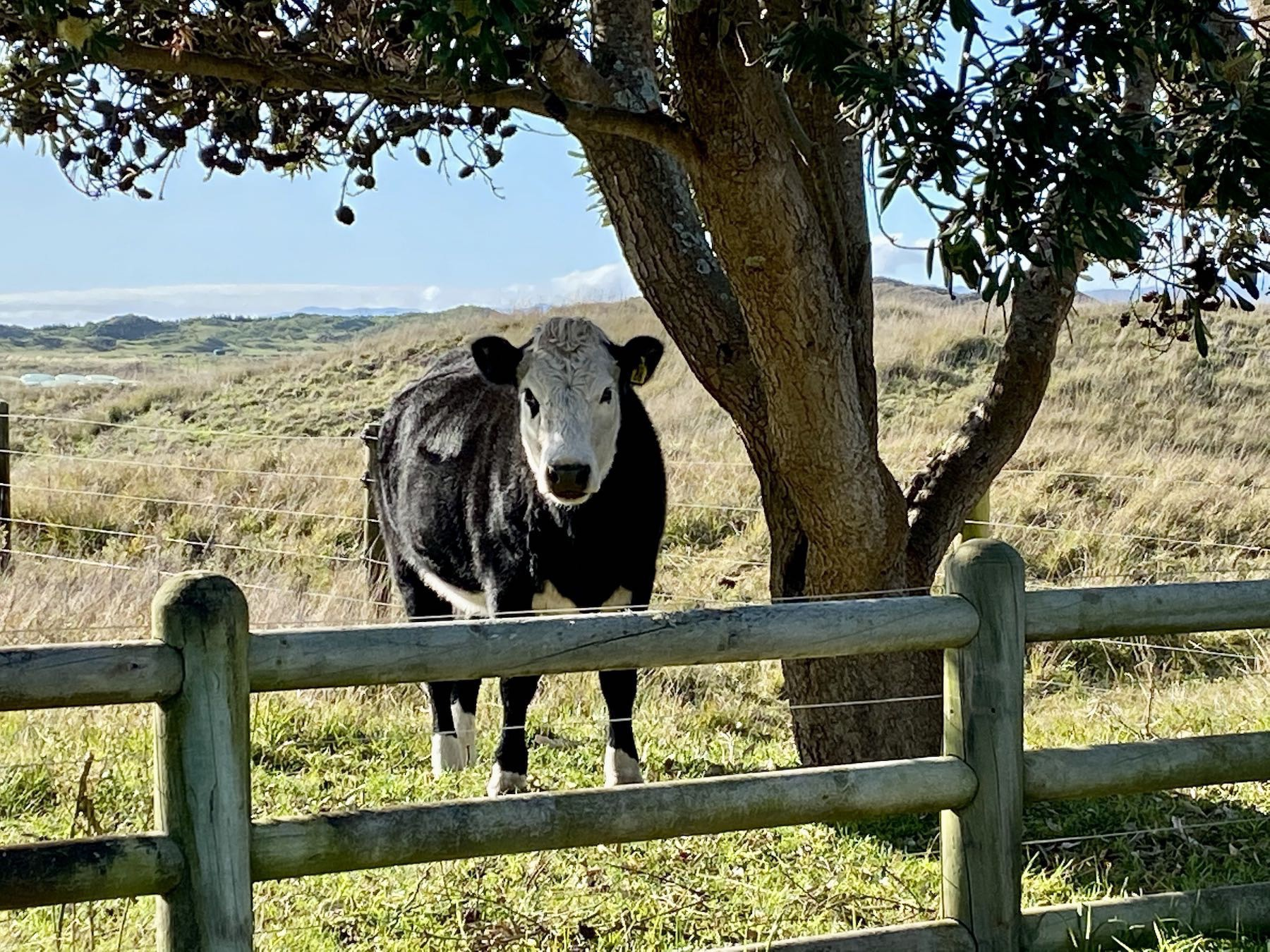 Cow standing beside a tree.