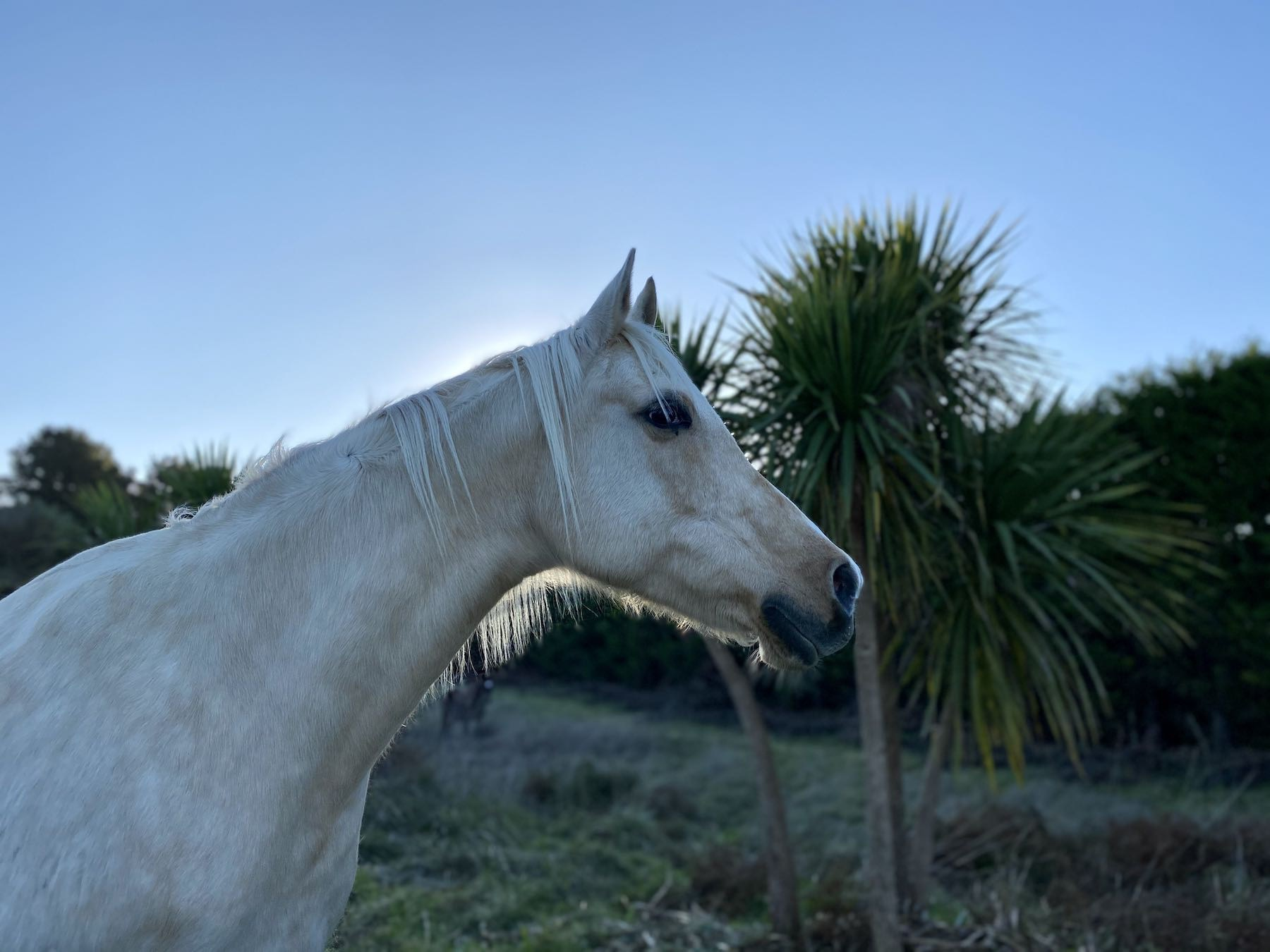 Side view of head and neck of a white horse.