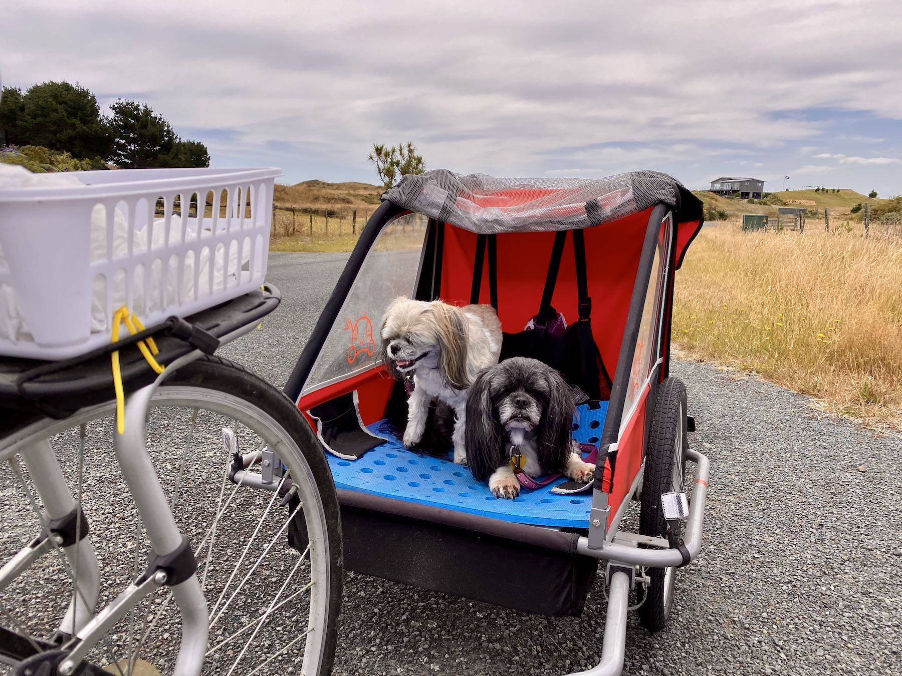 Two small dogs in a bicyle trailer.