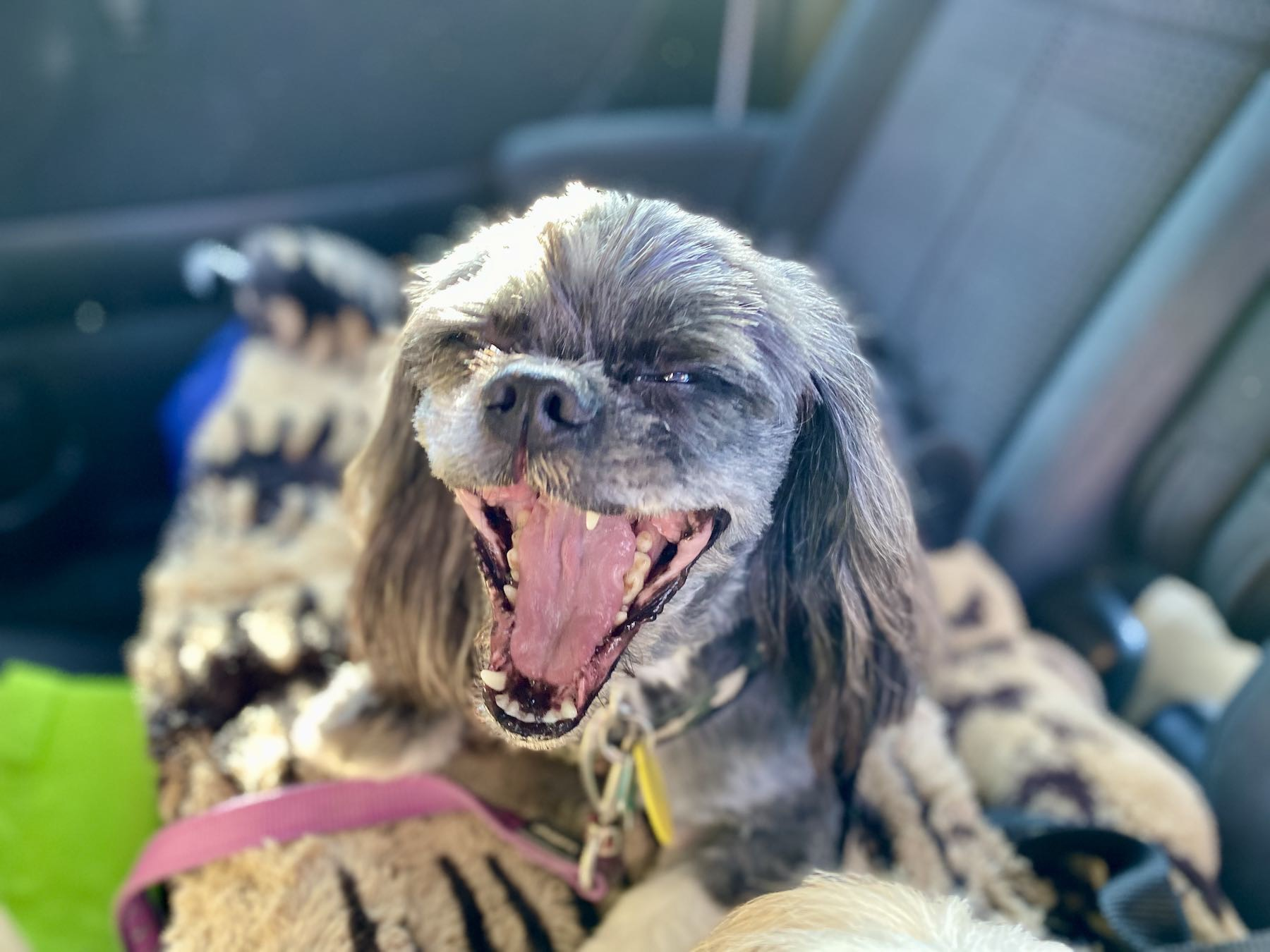 Small black freshly-groomed dog yawning.
