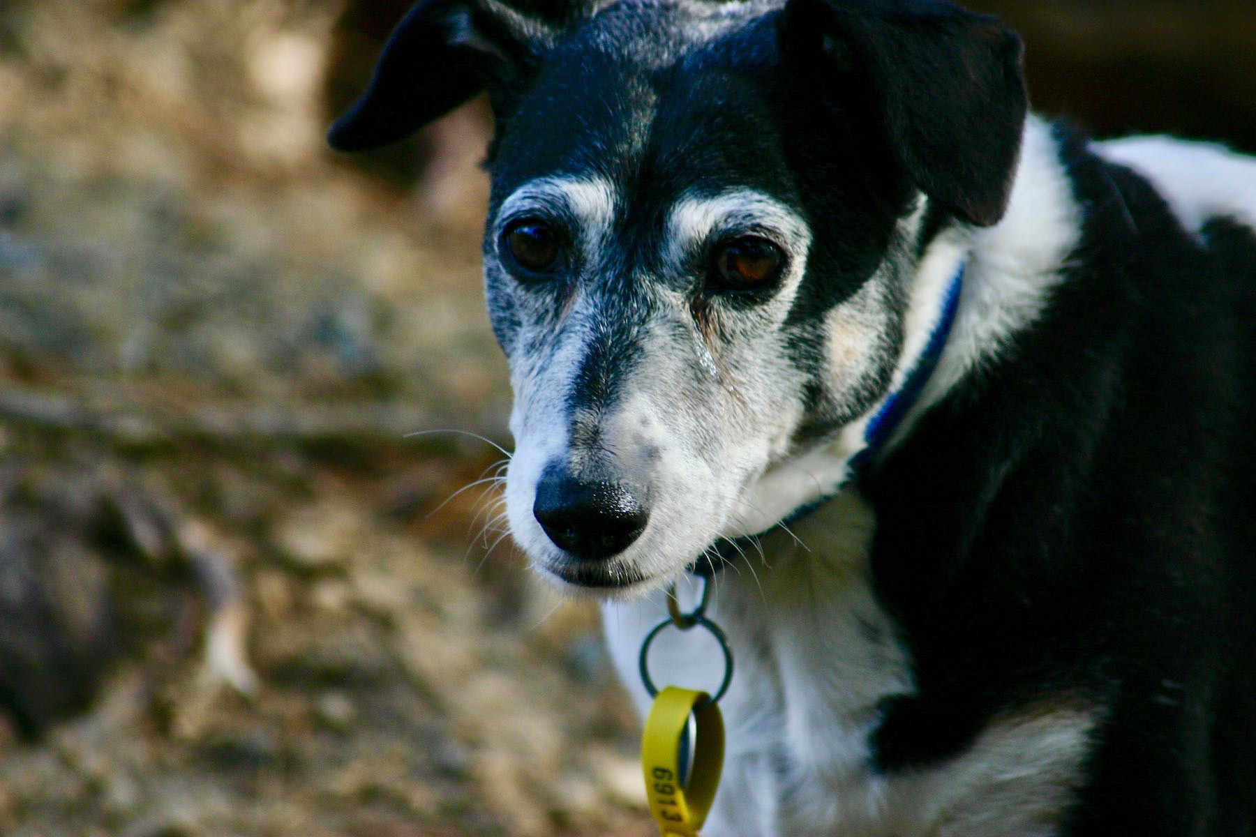 Small black and white dog looking at the camera.