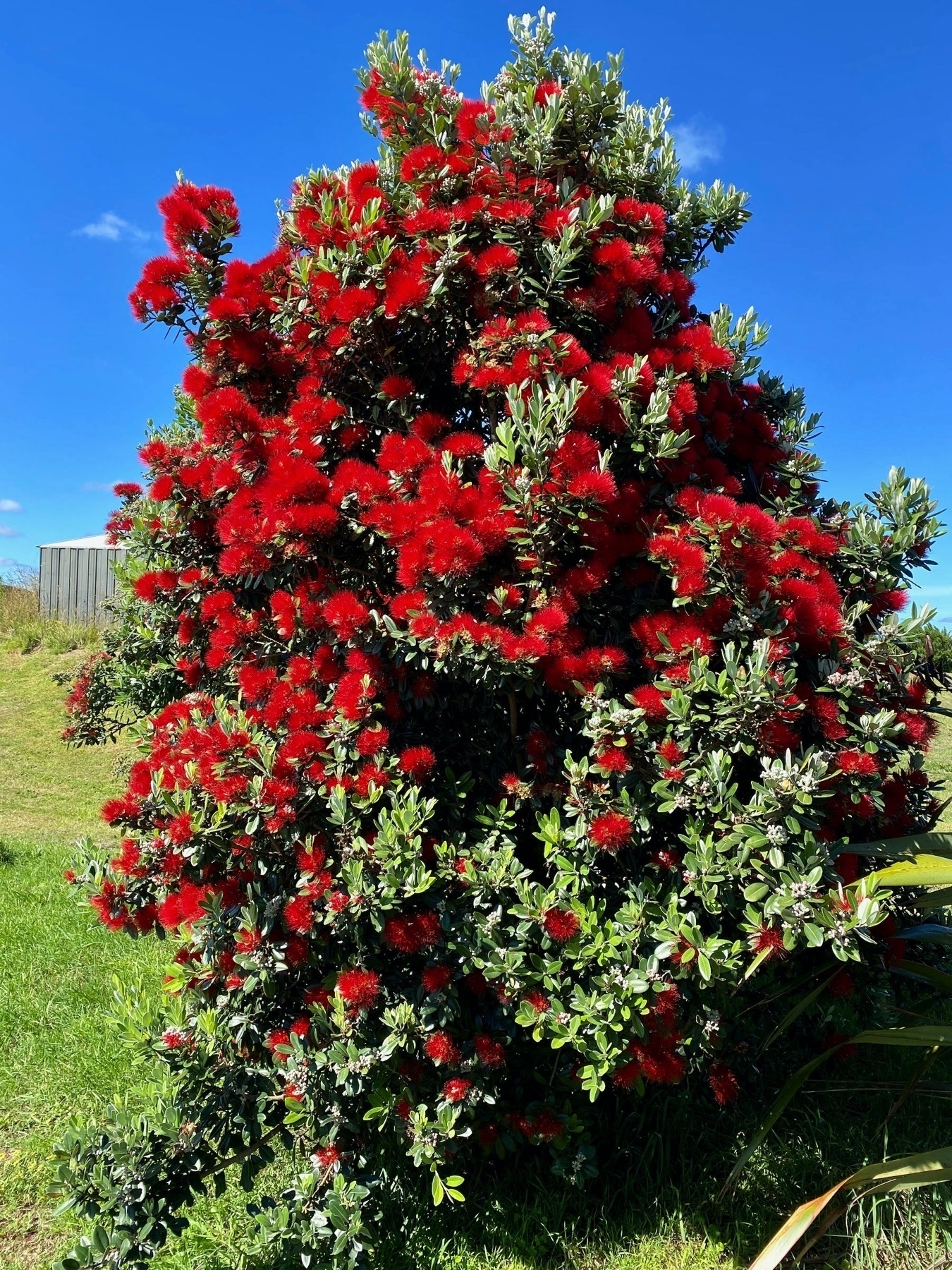 Shrubby tree with bright red flowers.