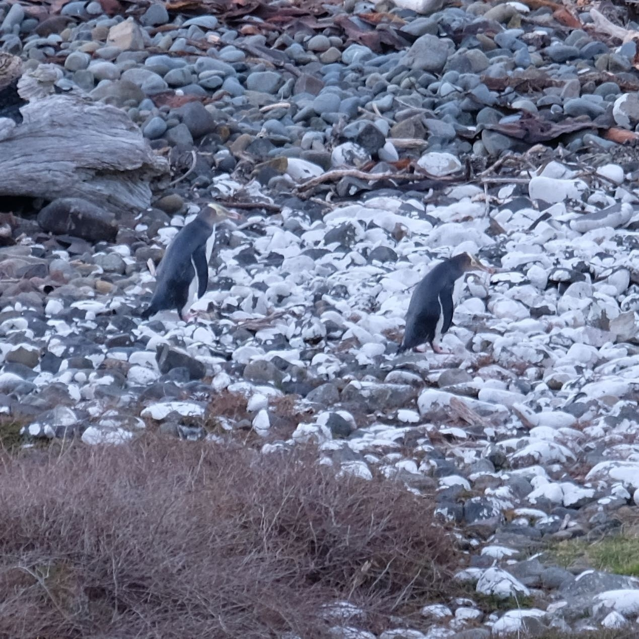 Two yellow-eyed penguins on a beach.