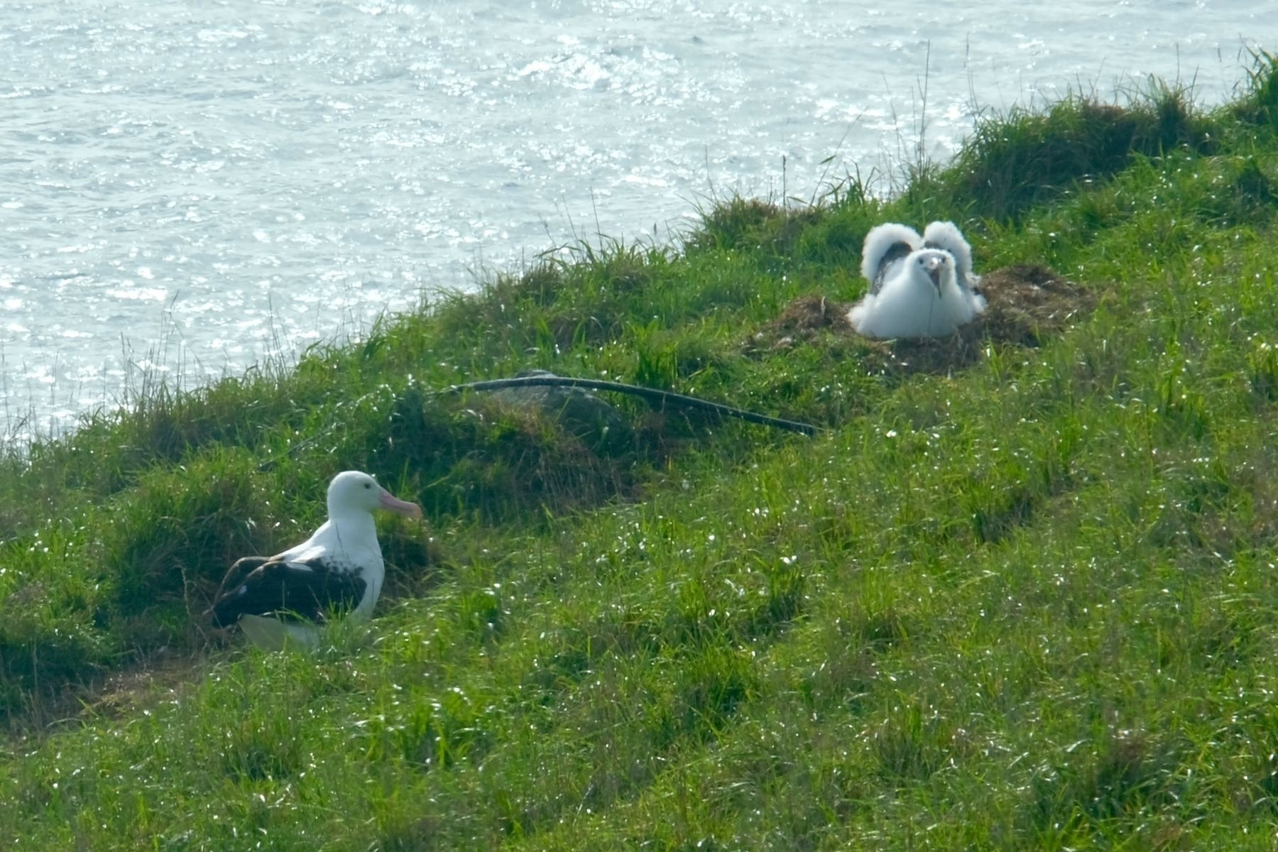 Adult albatross and chick.