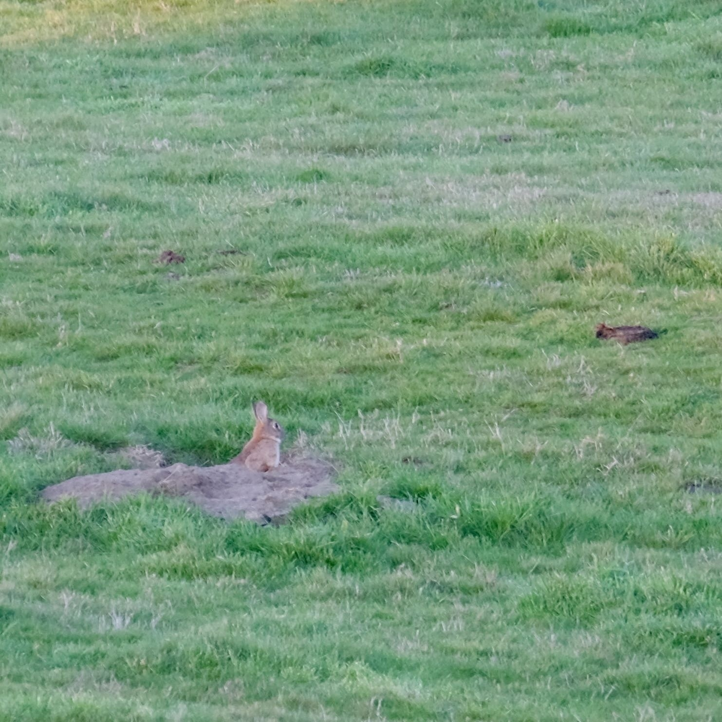 Rabbit at the top of a burrow in a green paddock.