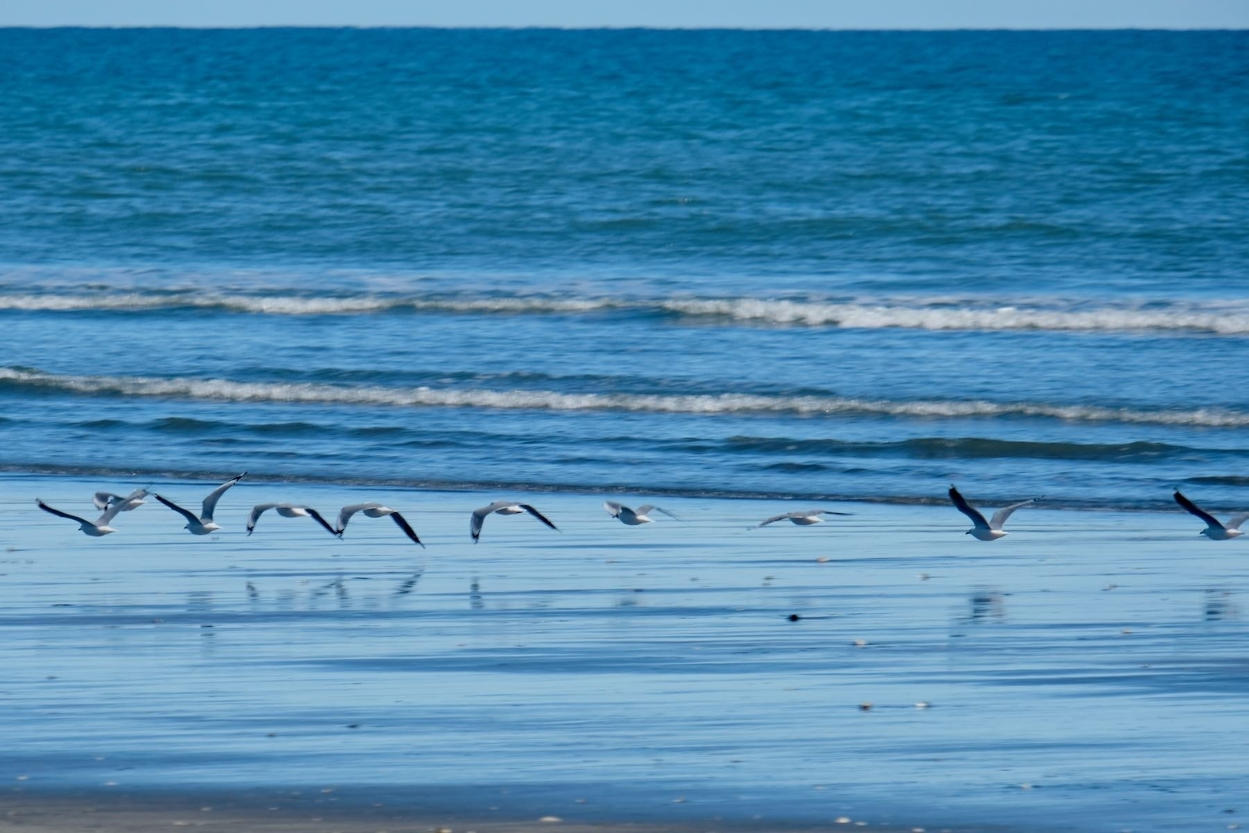 A line of about 12 gulls flying low over wet sand.