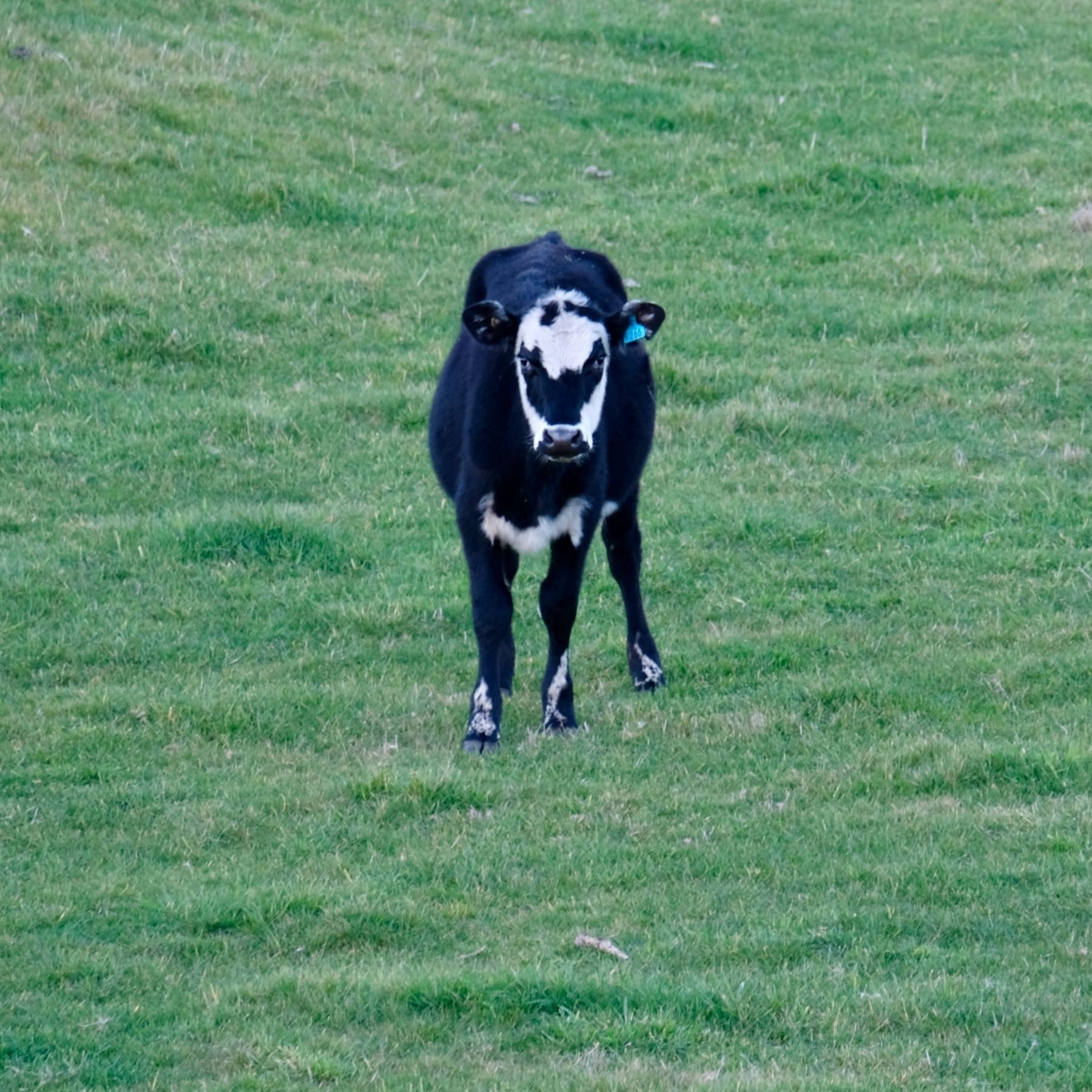 A mainly black cow with white markings on its head, which together make it hard to make out.
