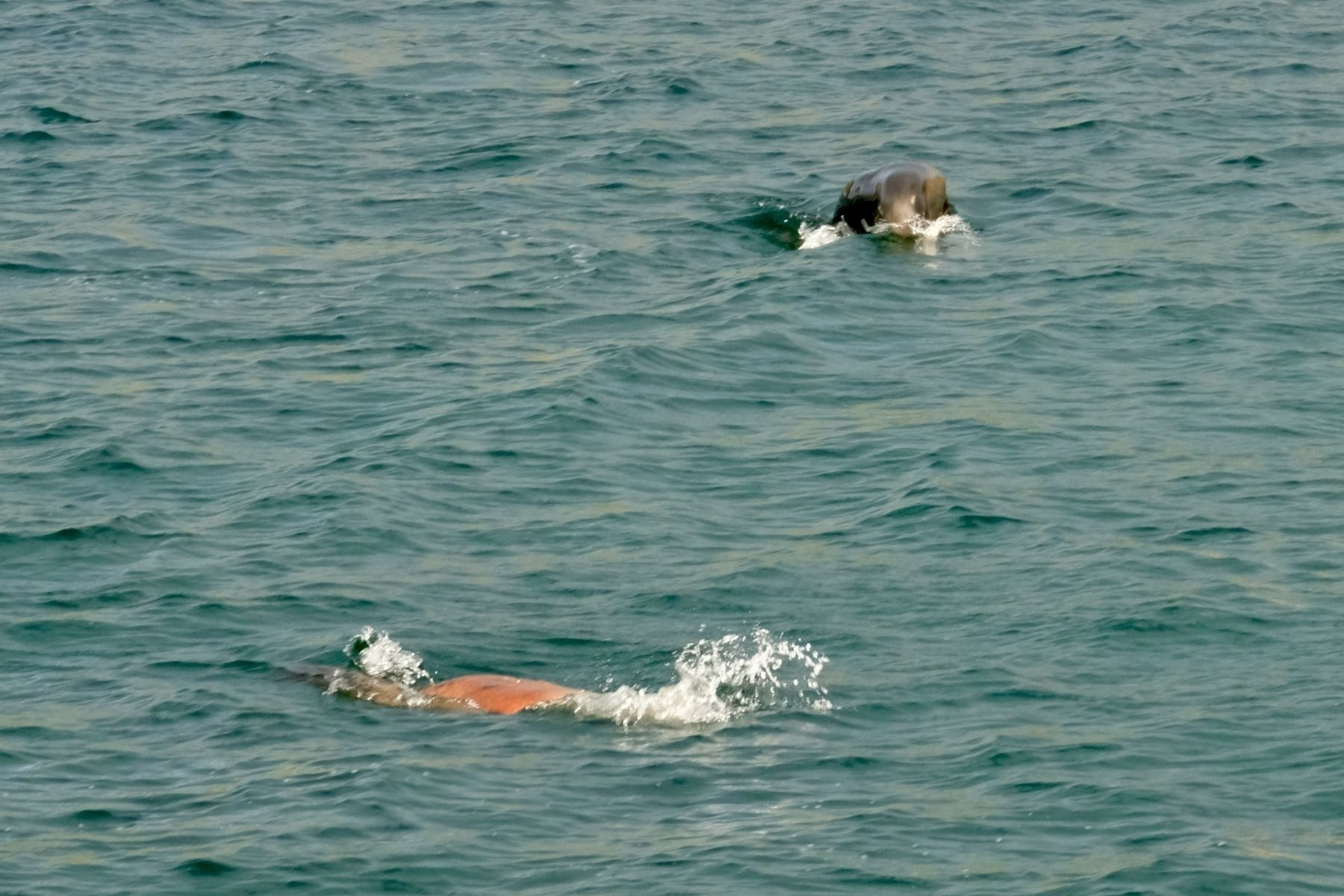 A couple of sealions frolicking in the sea.