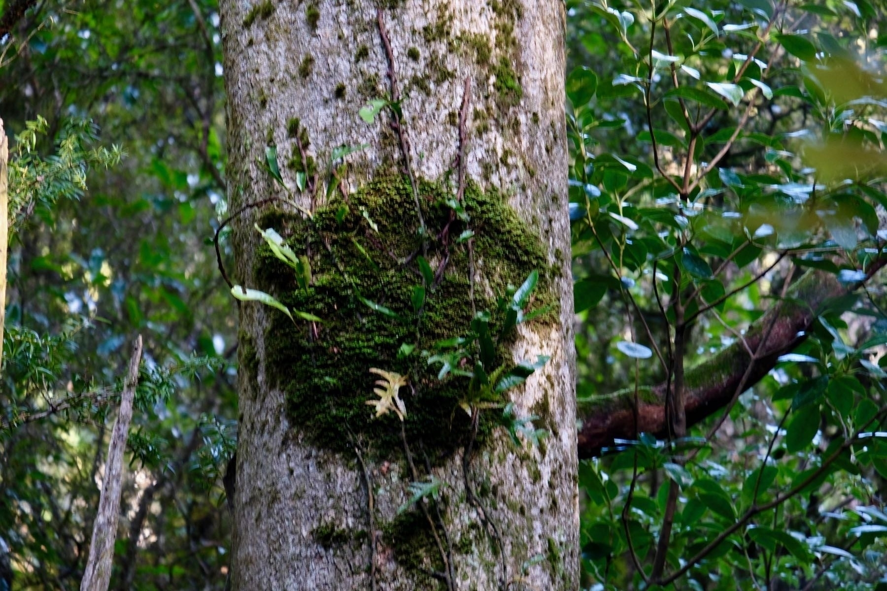 Clump of moss on a tree.