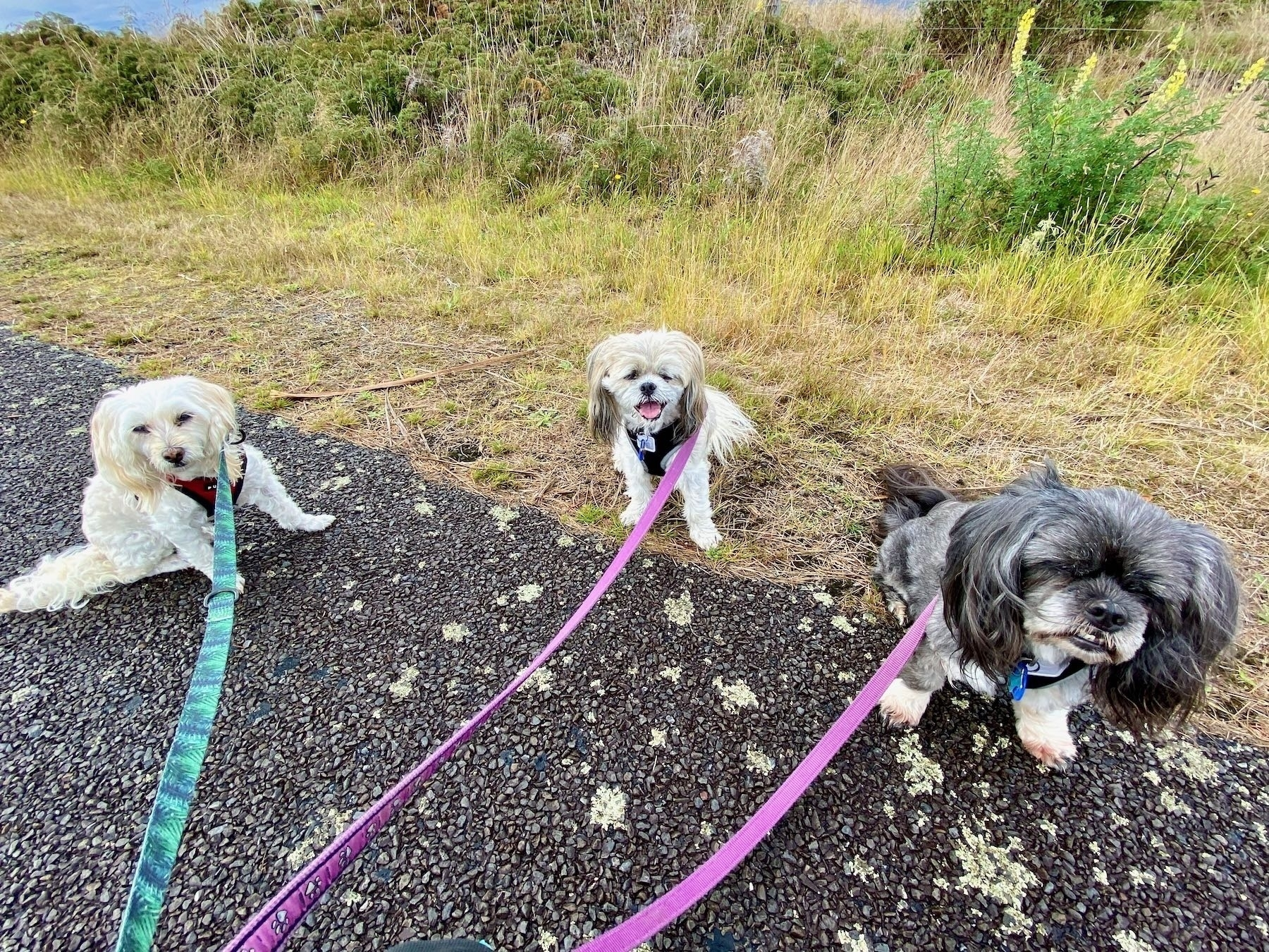 Three small dogs sitting beside the road.