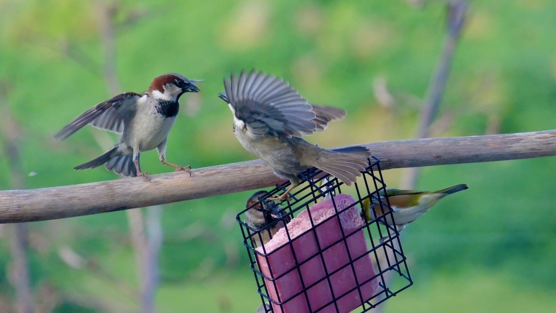 Two sparrows arguing.