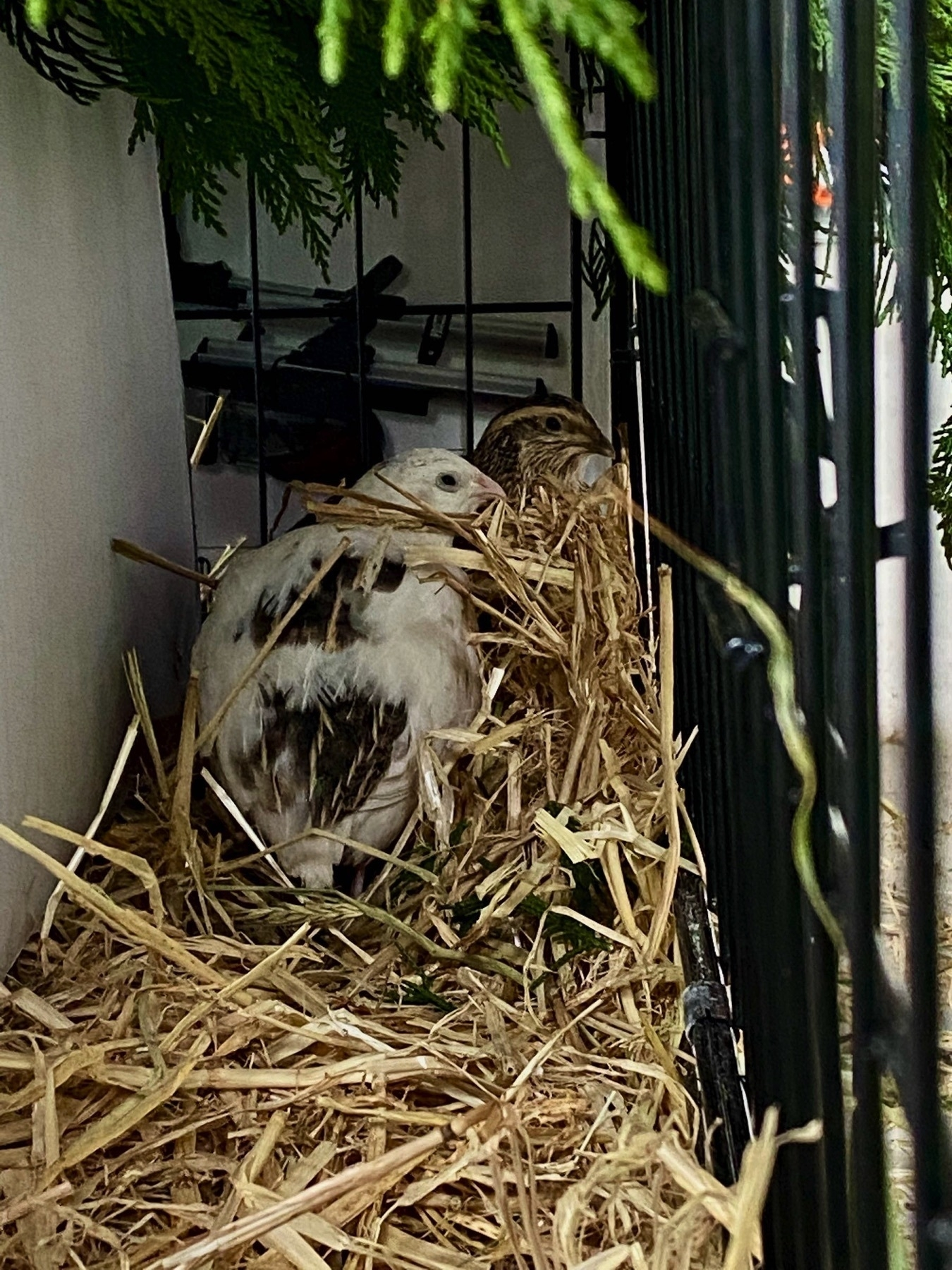 Two quail nestled in straw under overhanging macrocarpa greenery, in the dog crate.