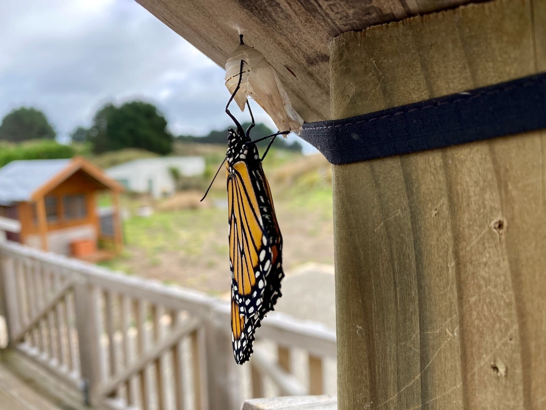 New Monarch Butterfly, alternate view.