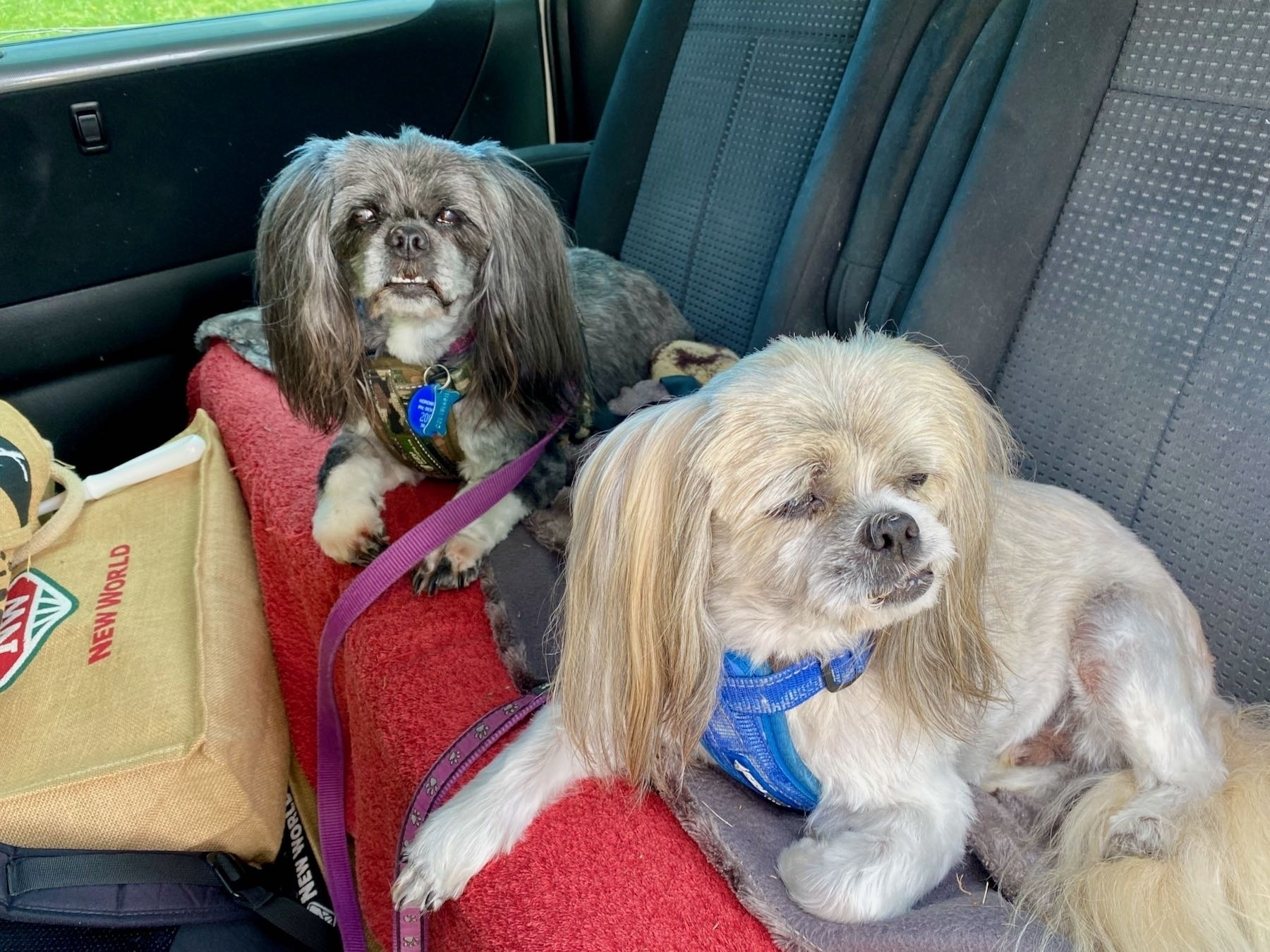 Two small freshly groomed dogs on the back seat of a car.