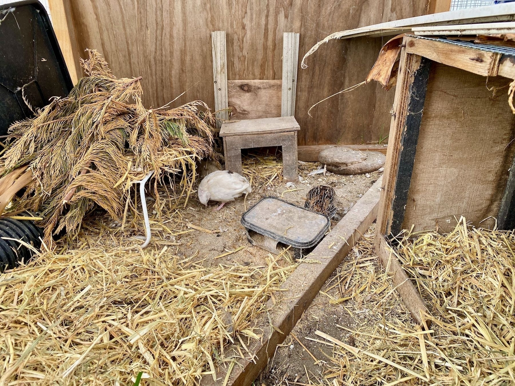 Two quail by the food bowl.