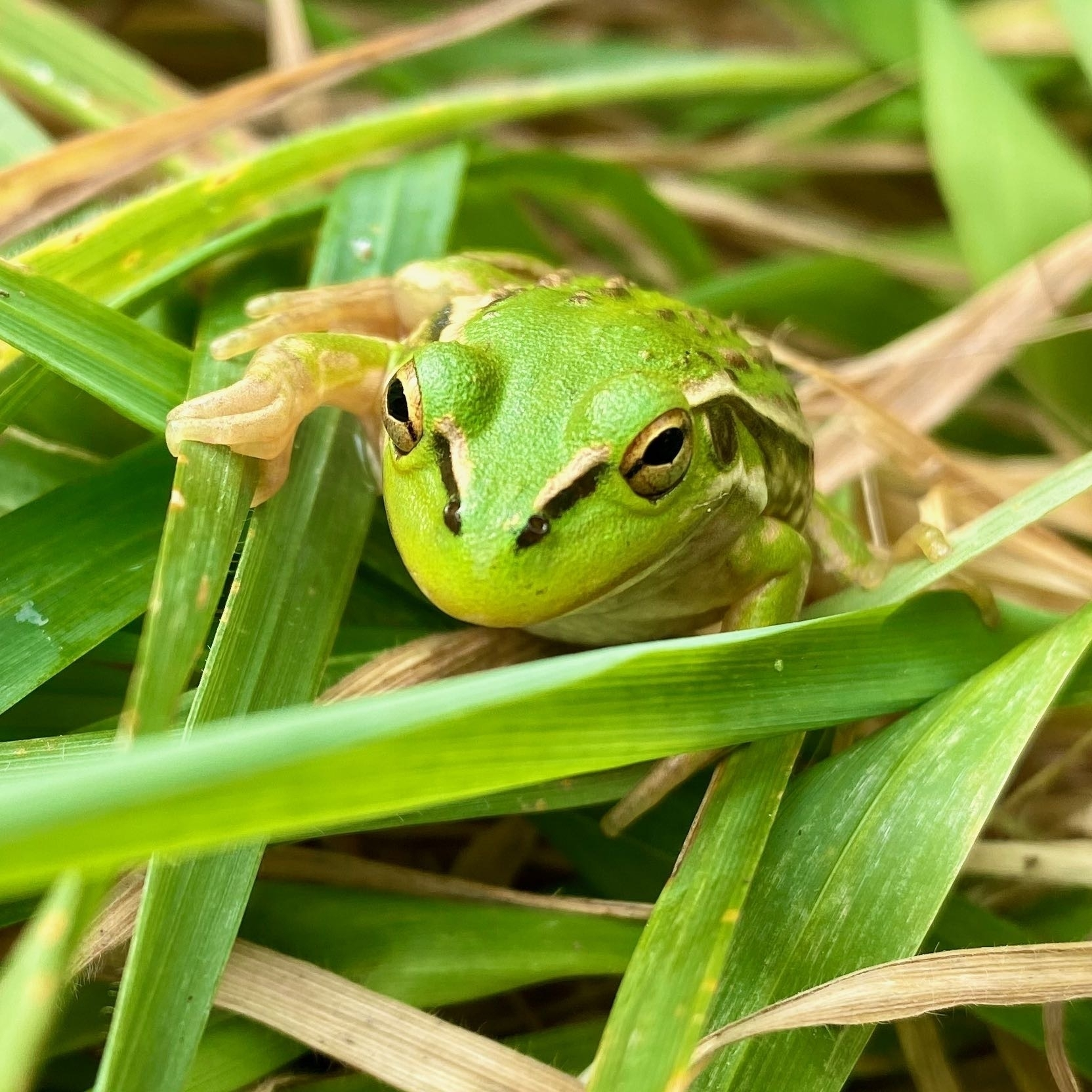 Small bright green frog with golden stripes and bumps, on grass. View of its face and feet.