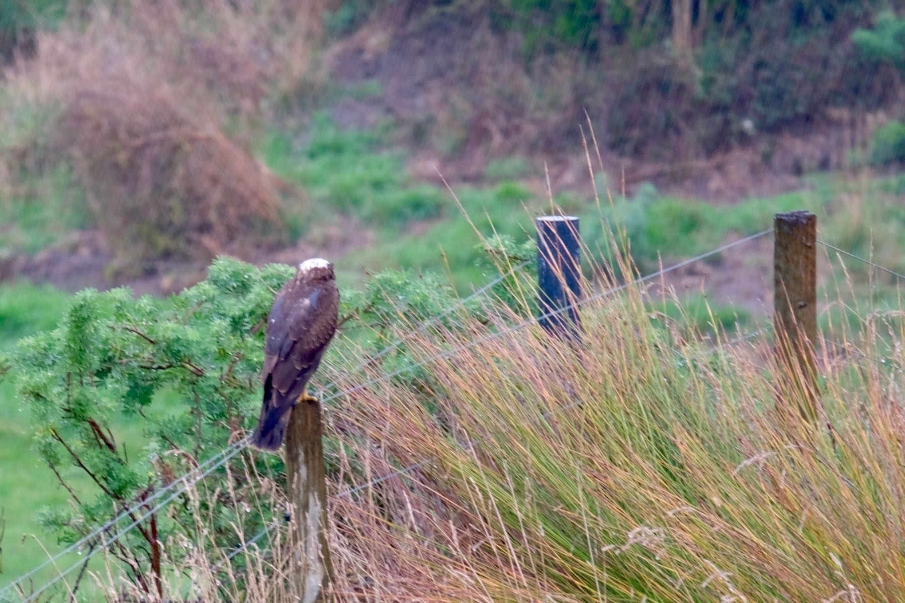 Hawk facing away, on a fence post.