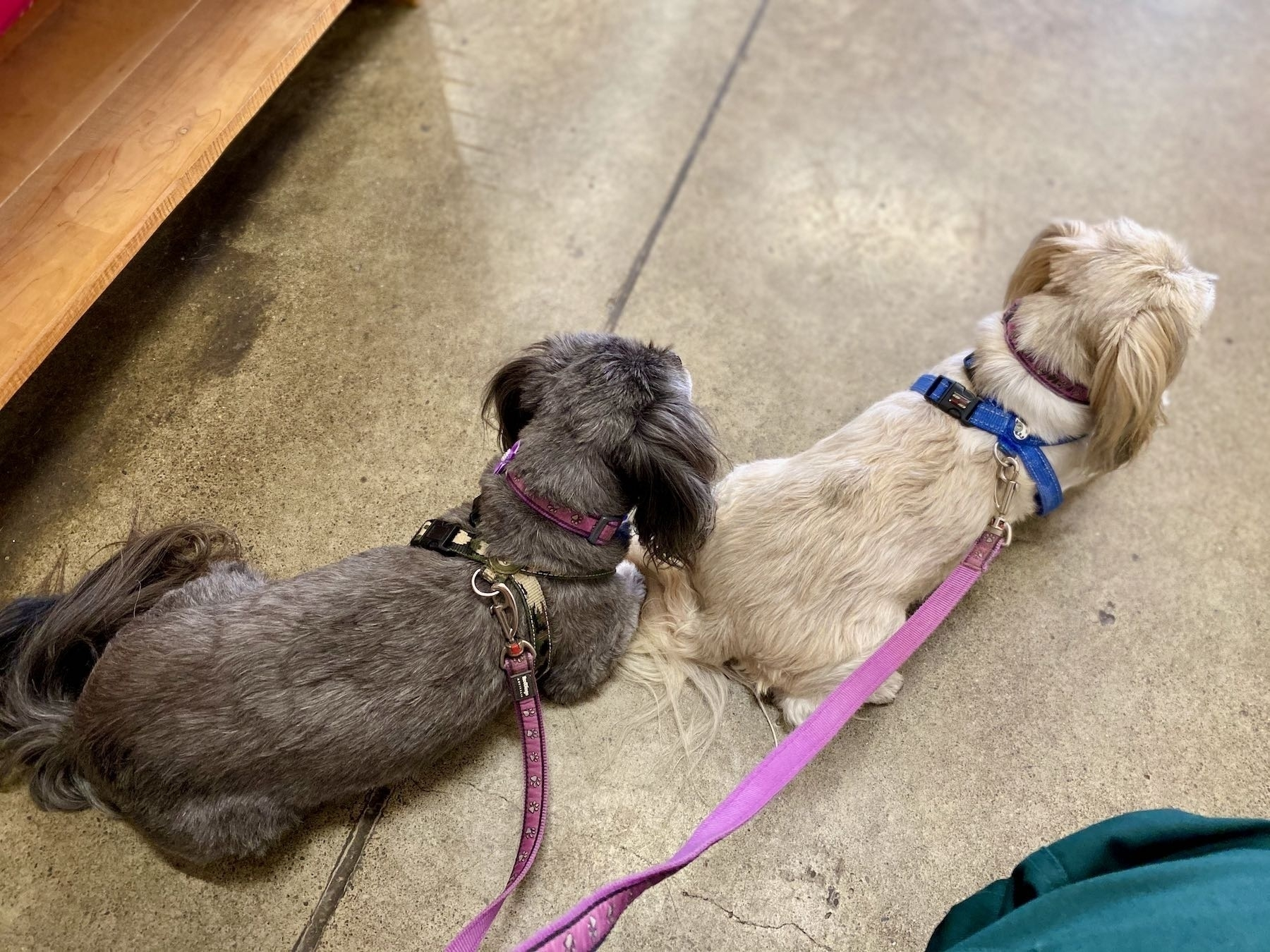 Top down view of two small dogs lying on a concrete floor.