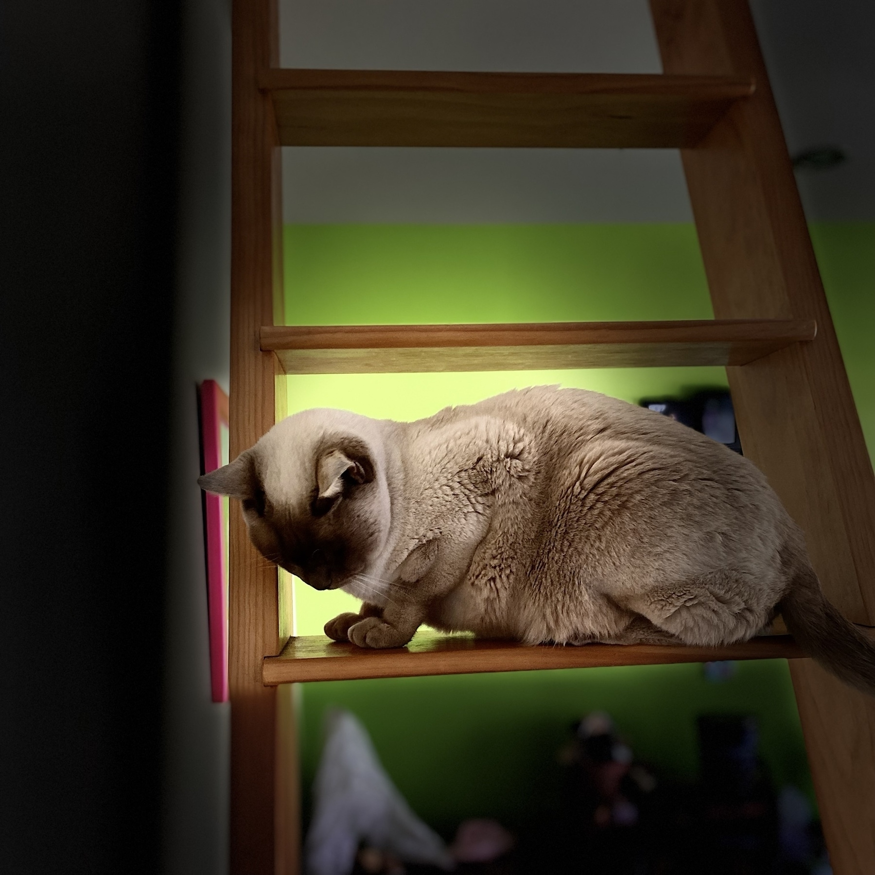 Cat on a ladder.