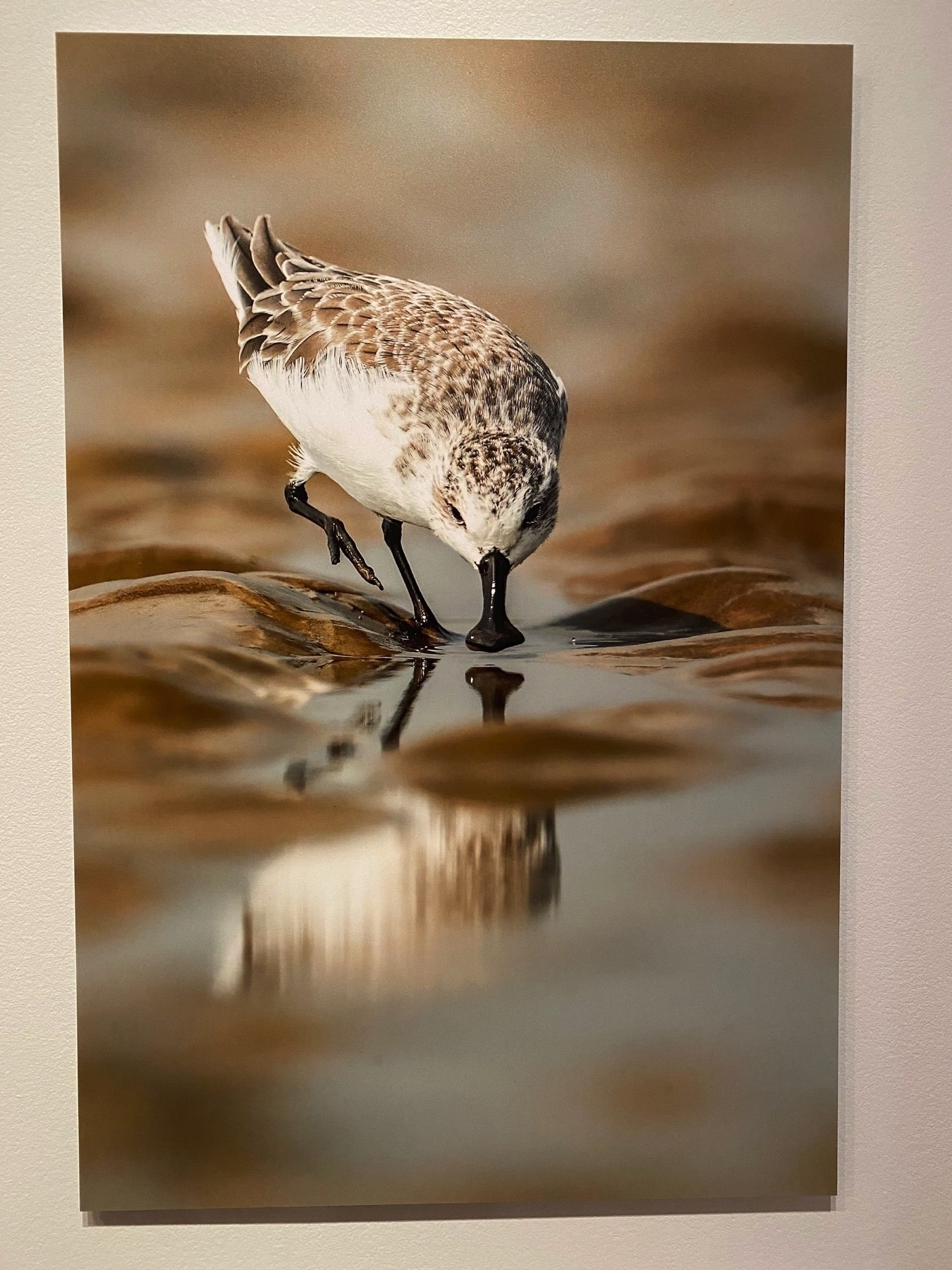 Spoon-billed sandpiper and its reflection.