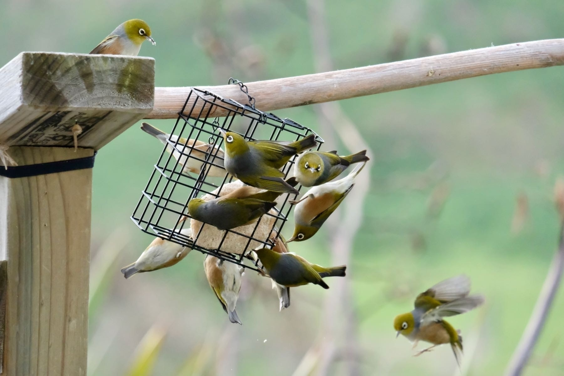 A cluster of small birds around a feeder.