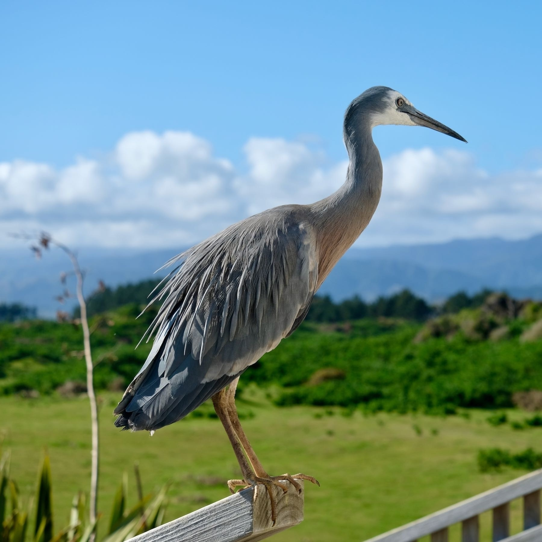 White-faced heron on a post with sky behind.