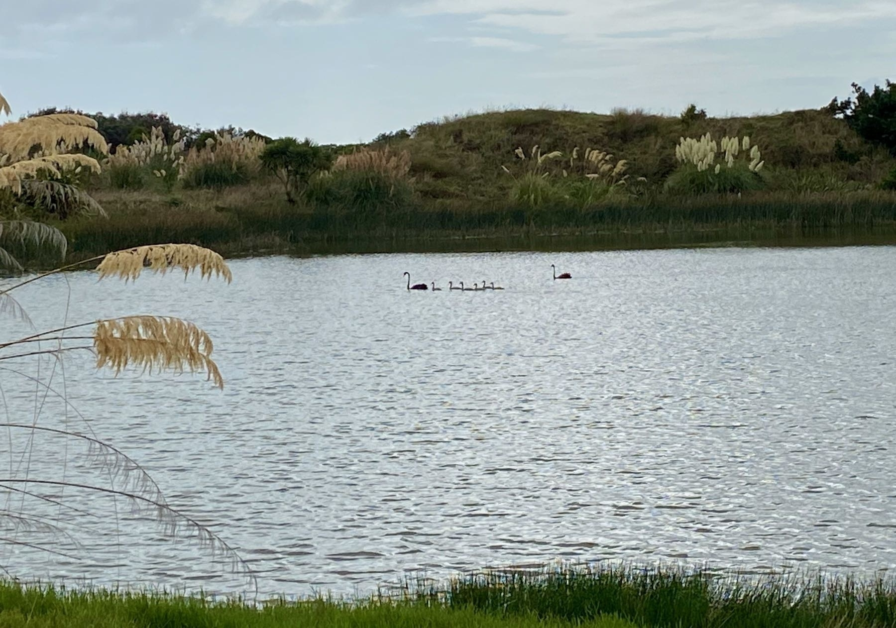 Two black swans and 6 cygnets on the lake.