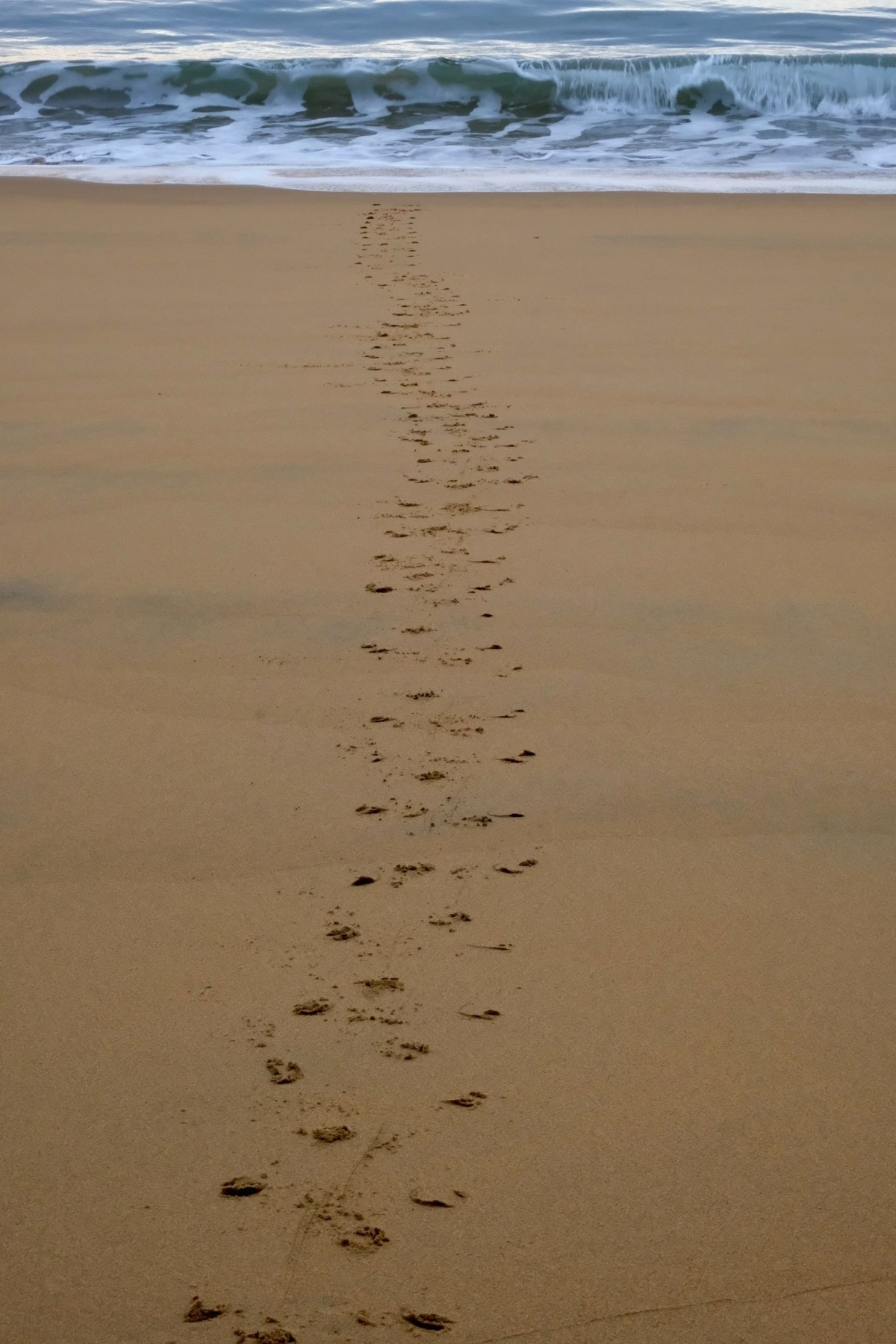 Track from a penguin crossing the beach.