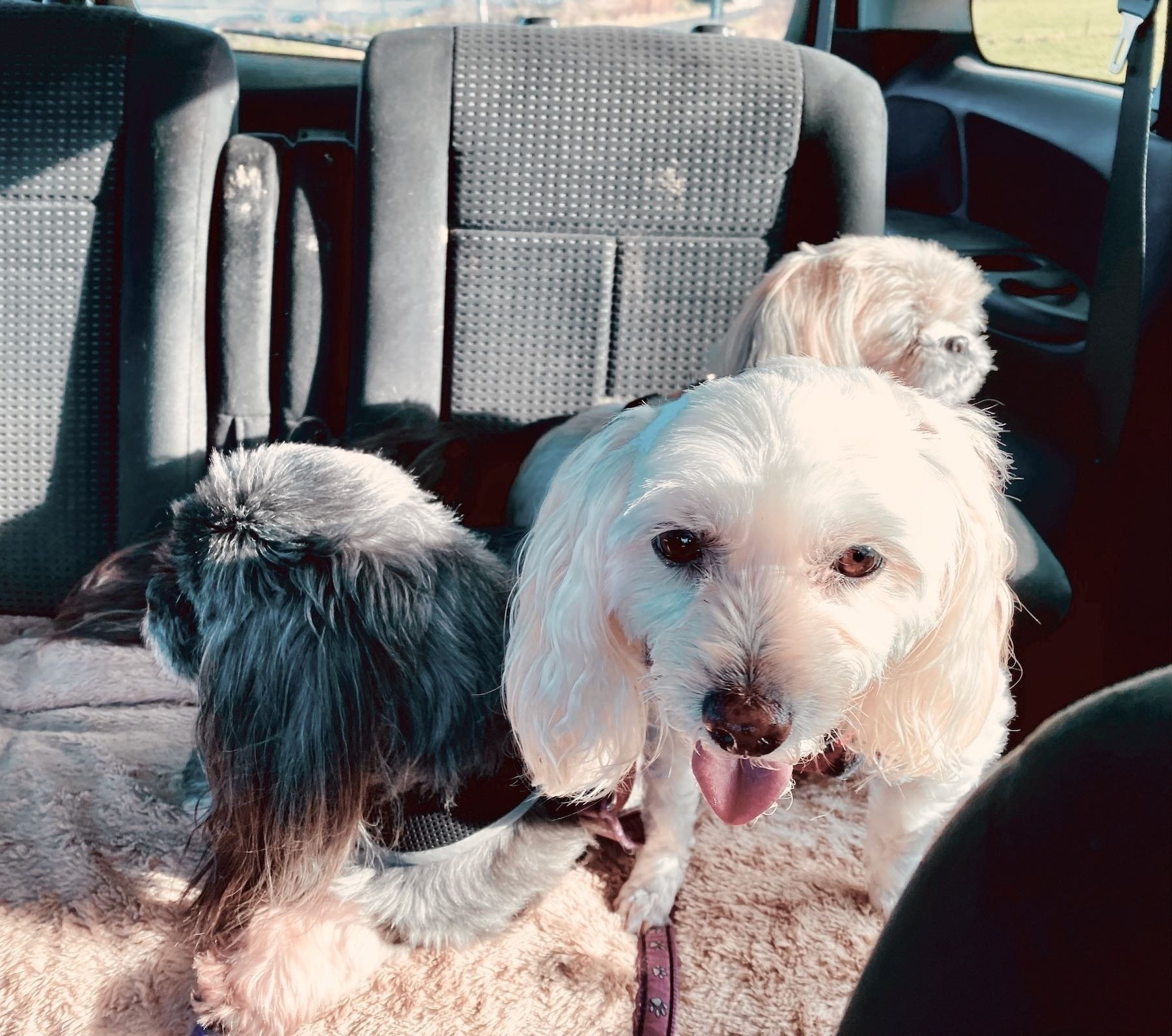 3 small dogs crammed into a small space in a car.