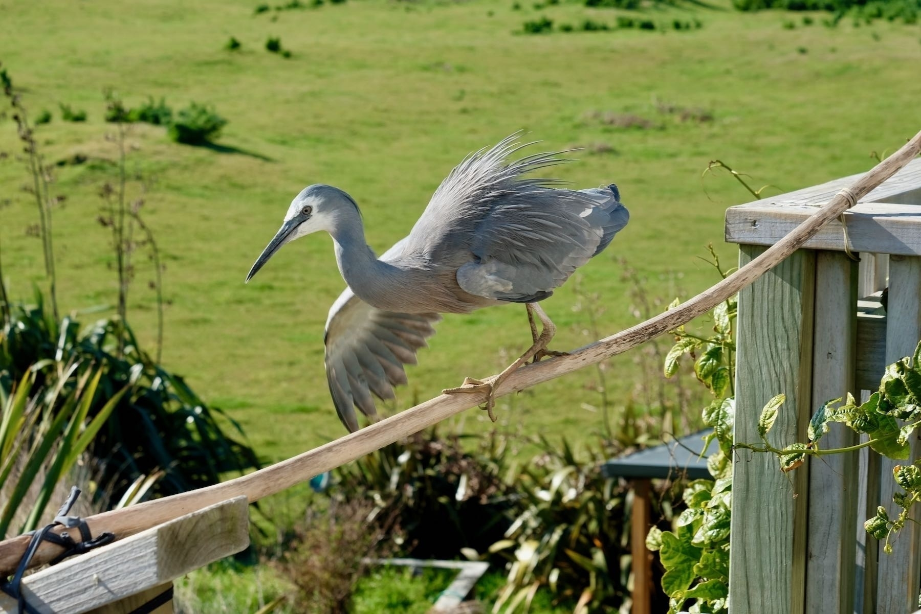 White-faced heron on a horizontal pole, using one wing to balance.