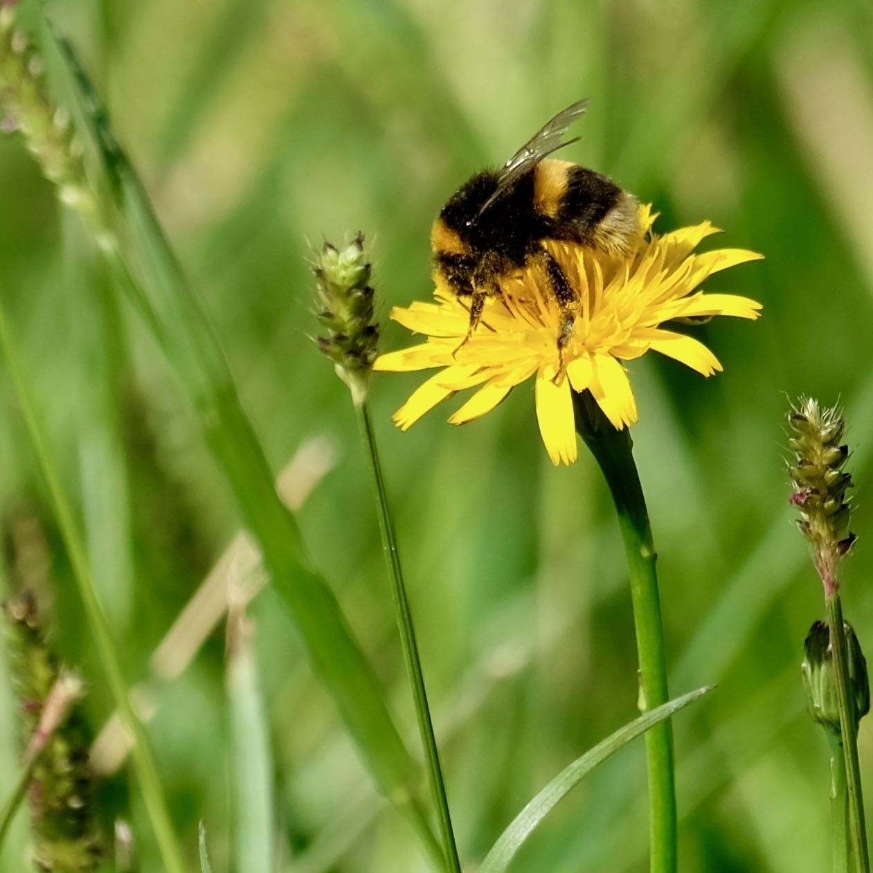 Bumblebee covered in pollen on a dandelion flower.