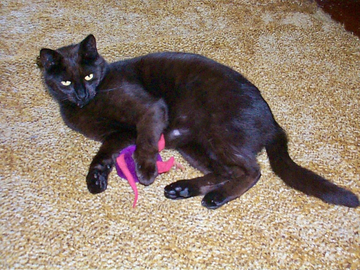 Black cat with toy.