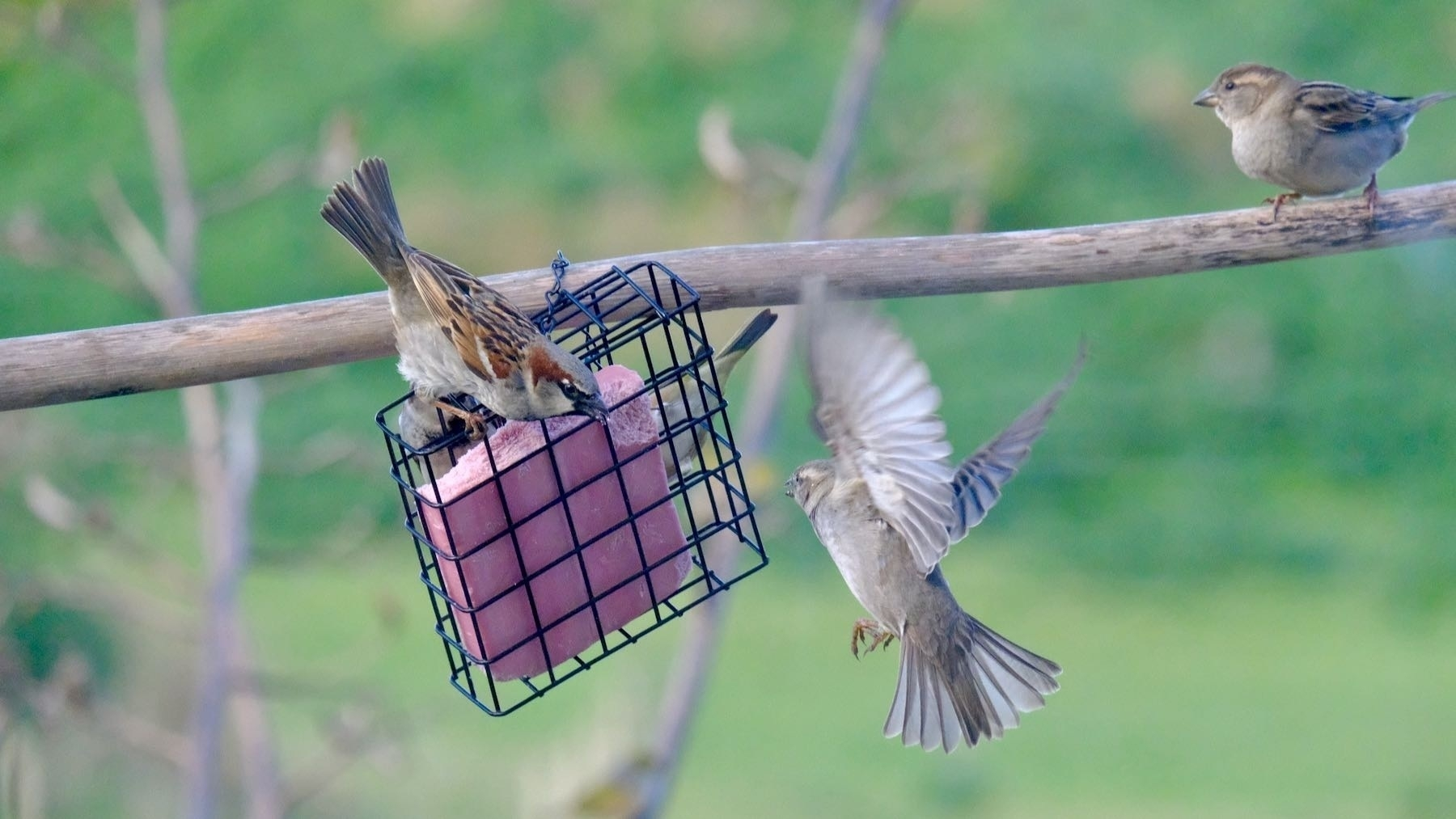 One sparrow flying in while another seems to be warning it off.