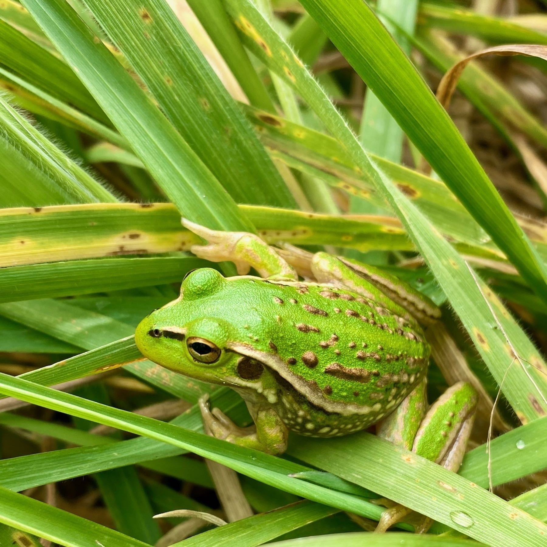 Small bright green frog with golden stripes and bumps, on grass.