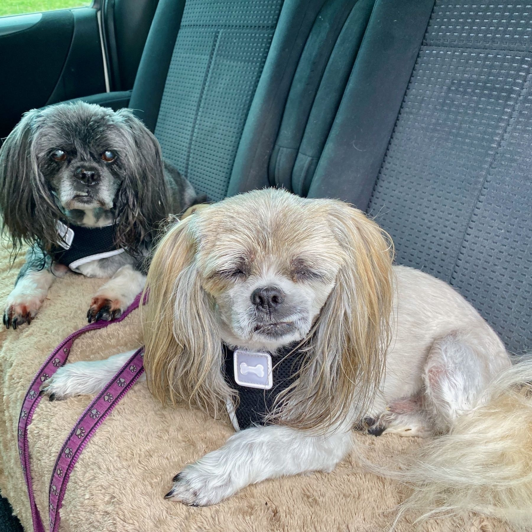 Two trim and tidy small dogs.
